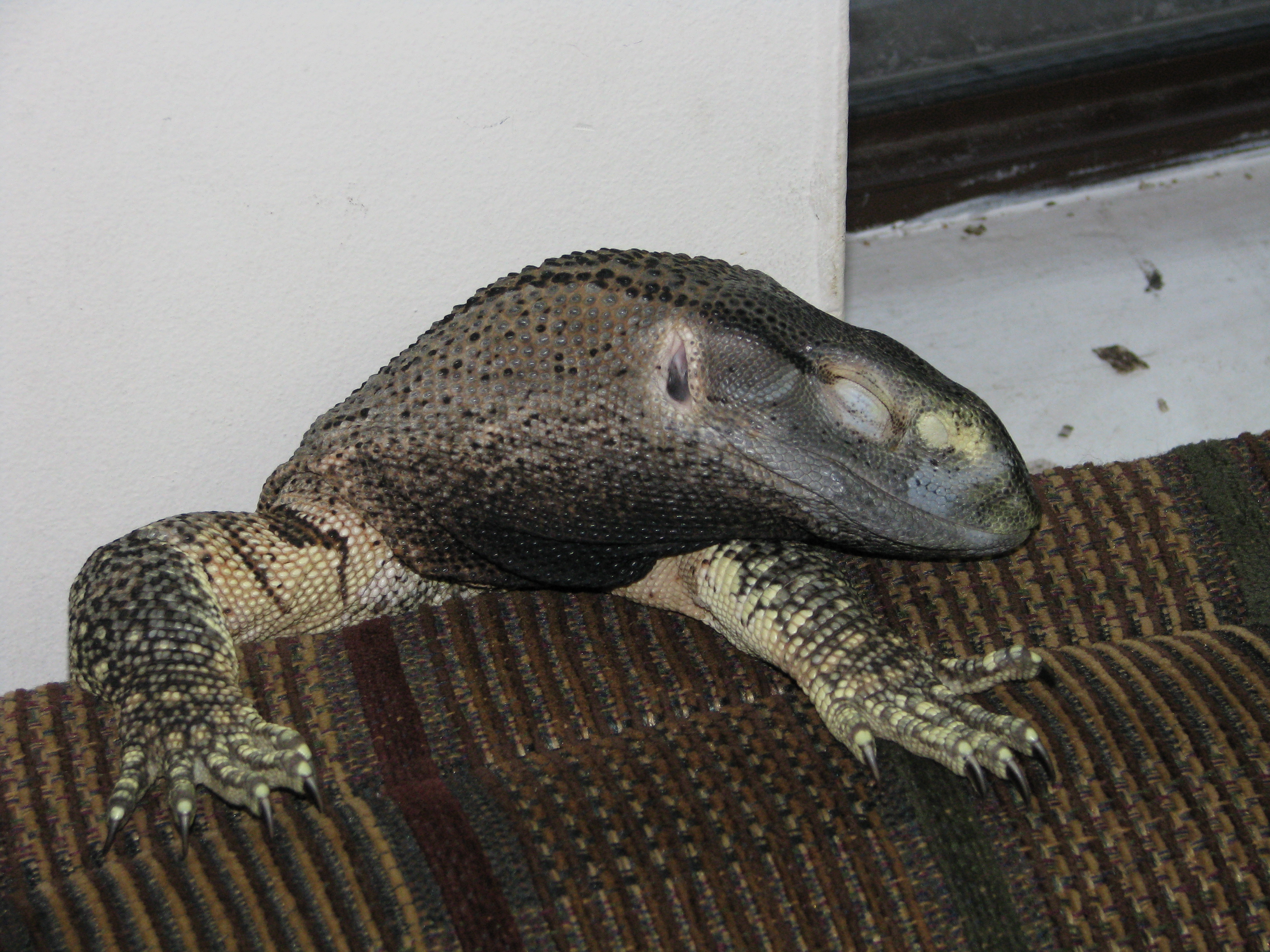 Throat Monitor For Sale Black-throated Monitor