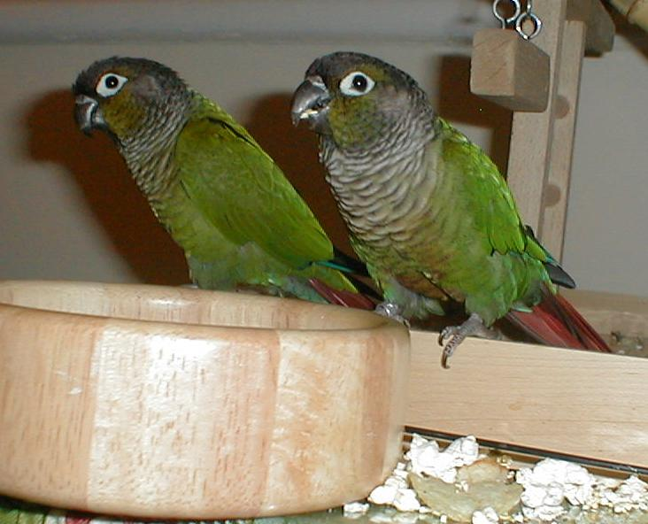 Two Green-Cheeked Conures