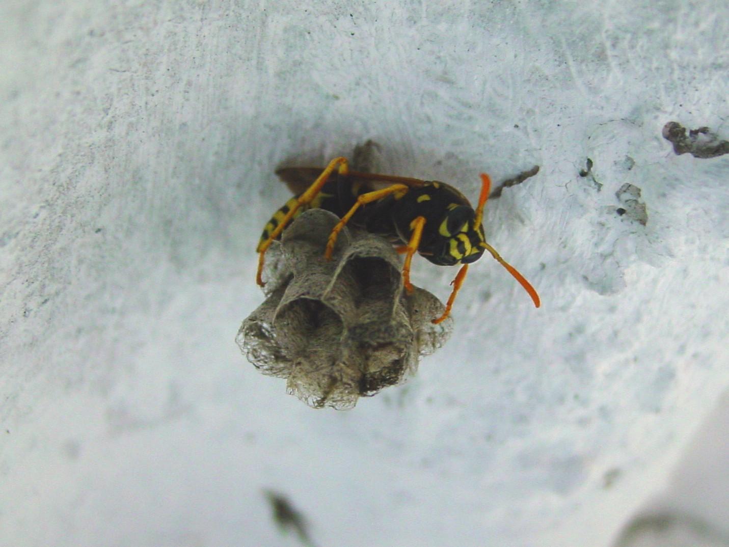 File Wasp Starting Nest Jpg Wikimedia Commons