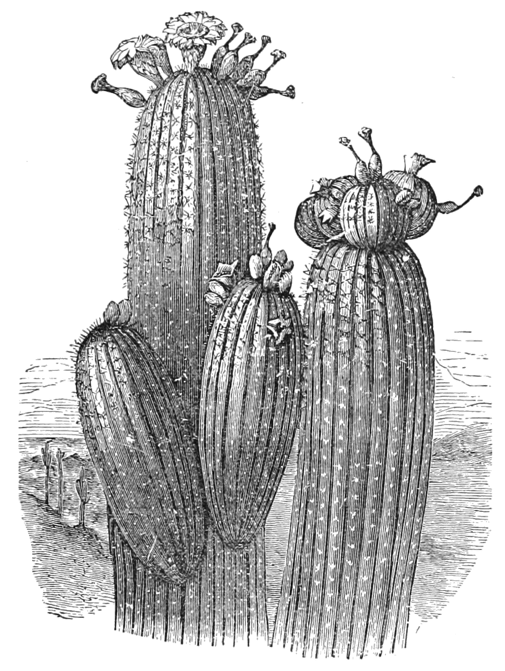 AGTM D345 The Pitahaya.png