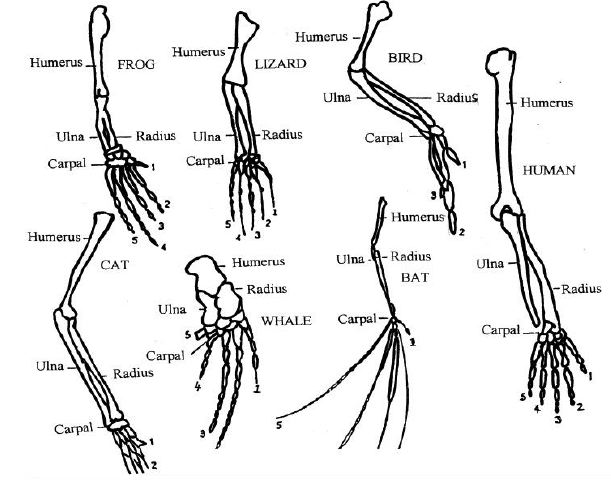 Anatomy and physiology of animals Various vertebrate limbs.jpg