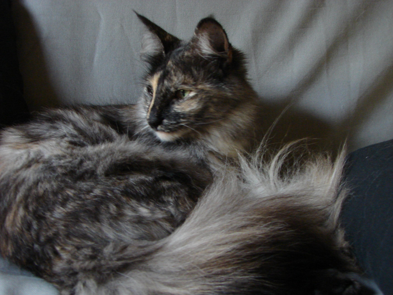 Black White Tortie Cat