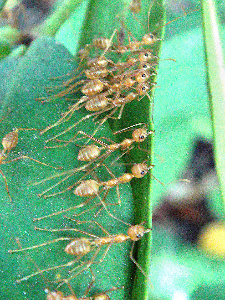 Weaver ants are used as a biological control for citrus cultivation in southern China