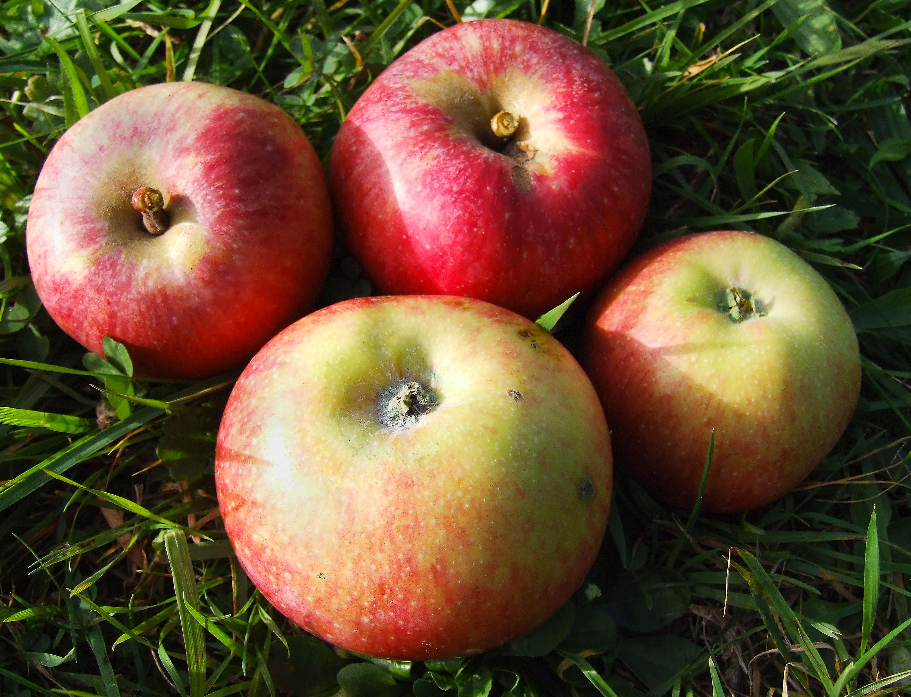 """Résultat de recherche d'images pour """"pomme jonagored"""""""