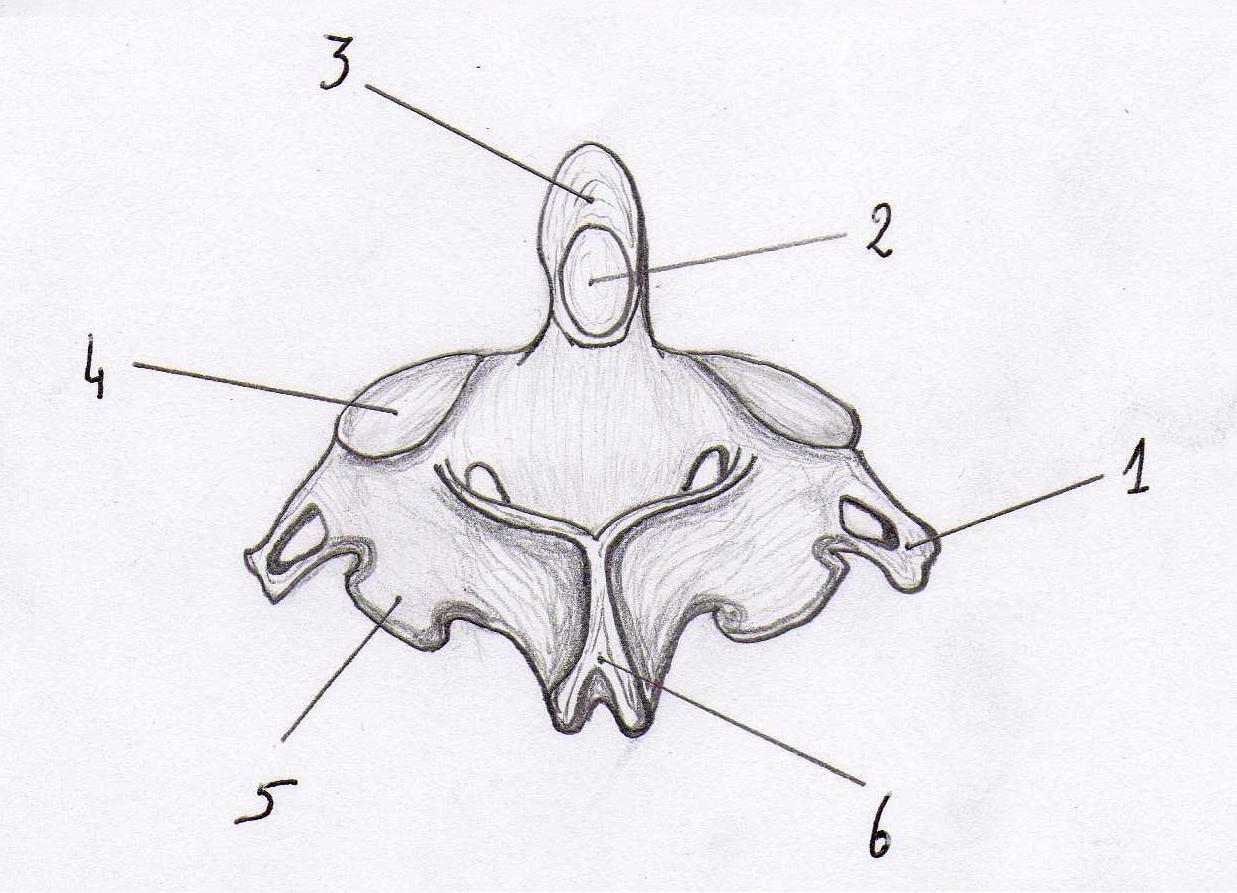 File:Axis vertebra posterior view.jpg - Wikimedia Commons