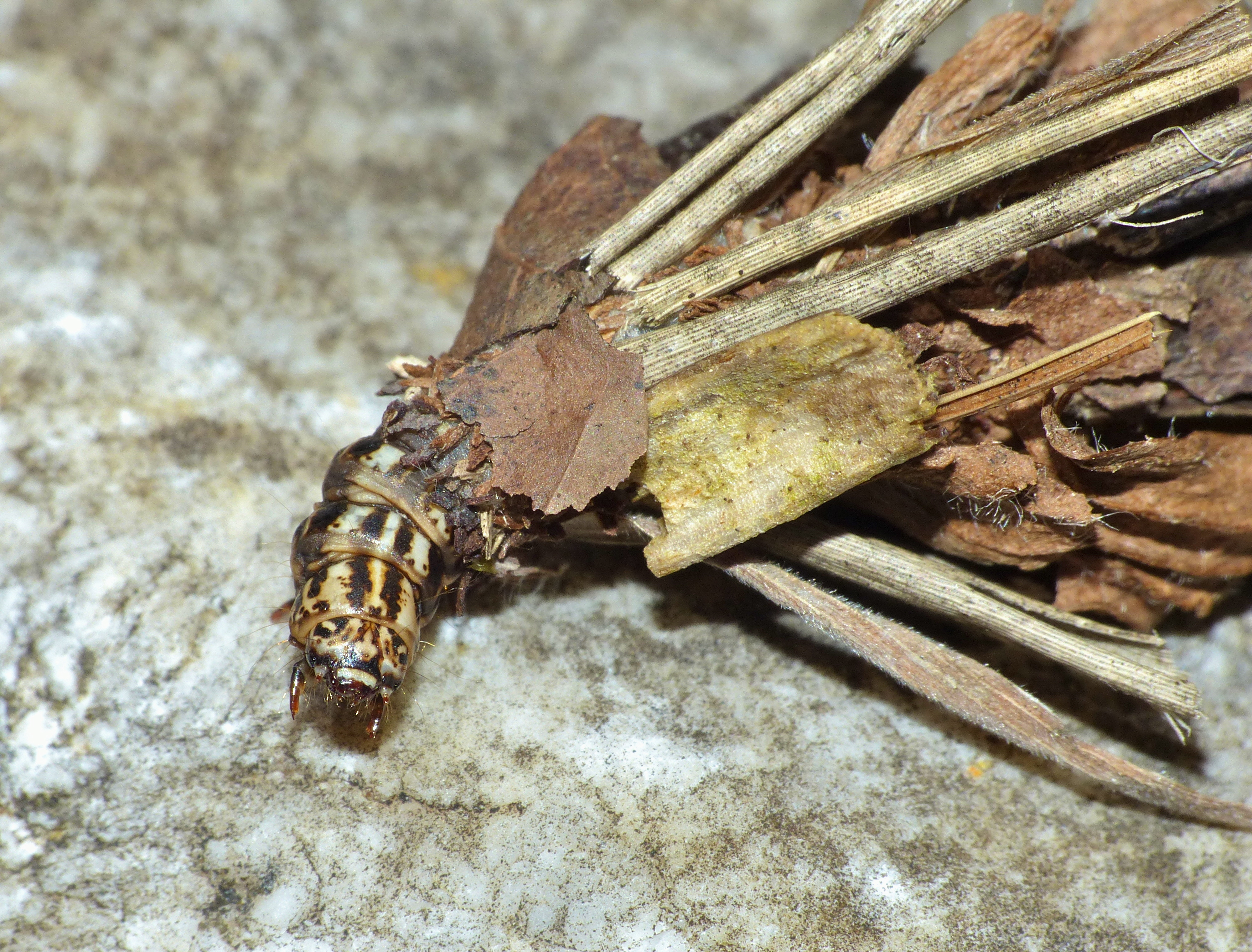 Bagworm Moth %28Psychidae%29 caterpillar %2814345265279%29 Bagworm Moth Caterpillars: The Secret on How to eliminate Them