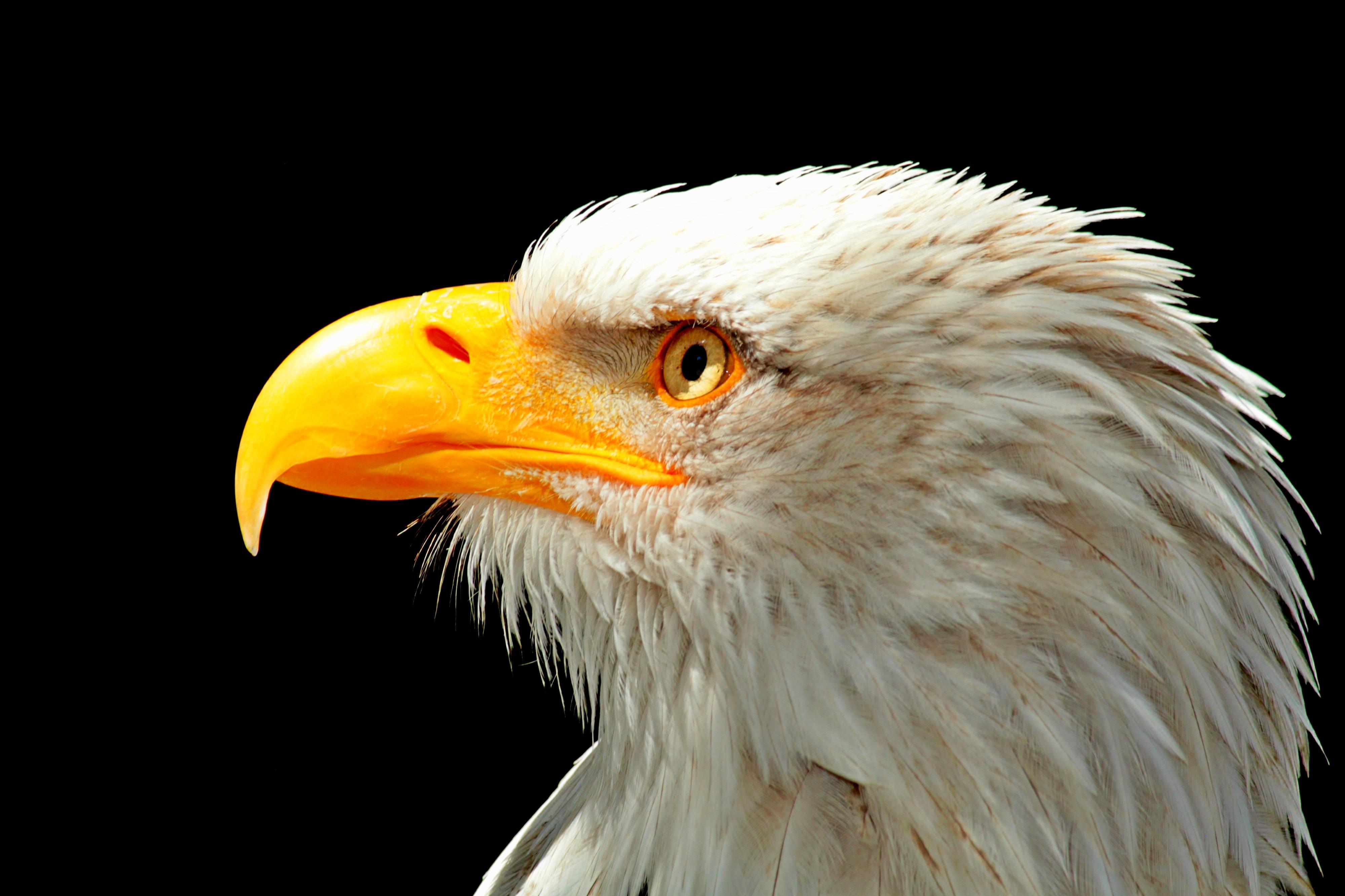 Eagle beak - photo#36