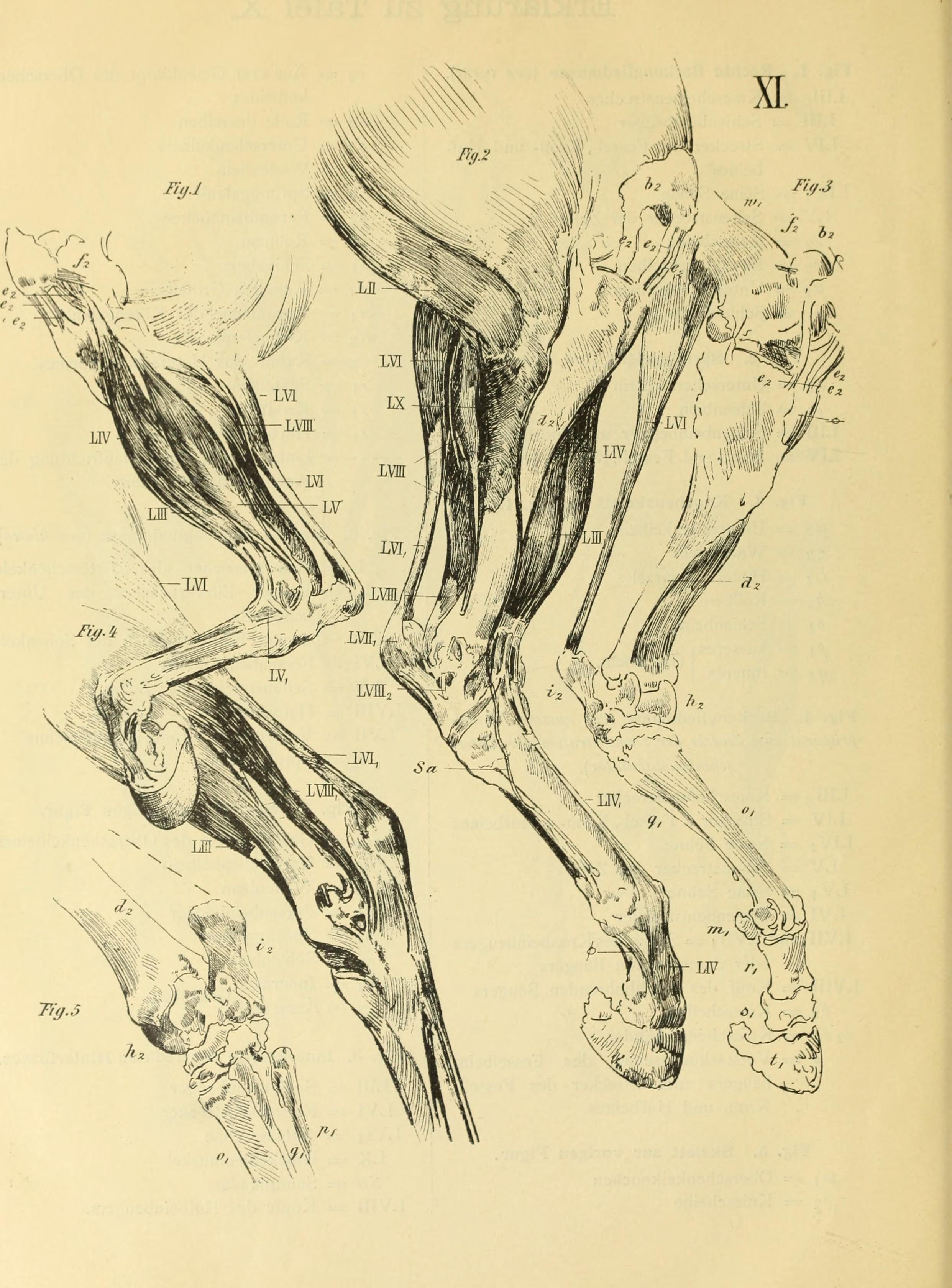 File:Blätter zur plastischen Anatomie des Pferdes nach natürlichen ...