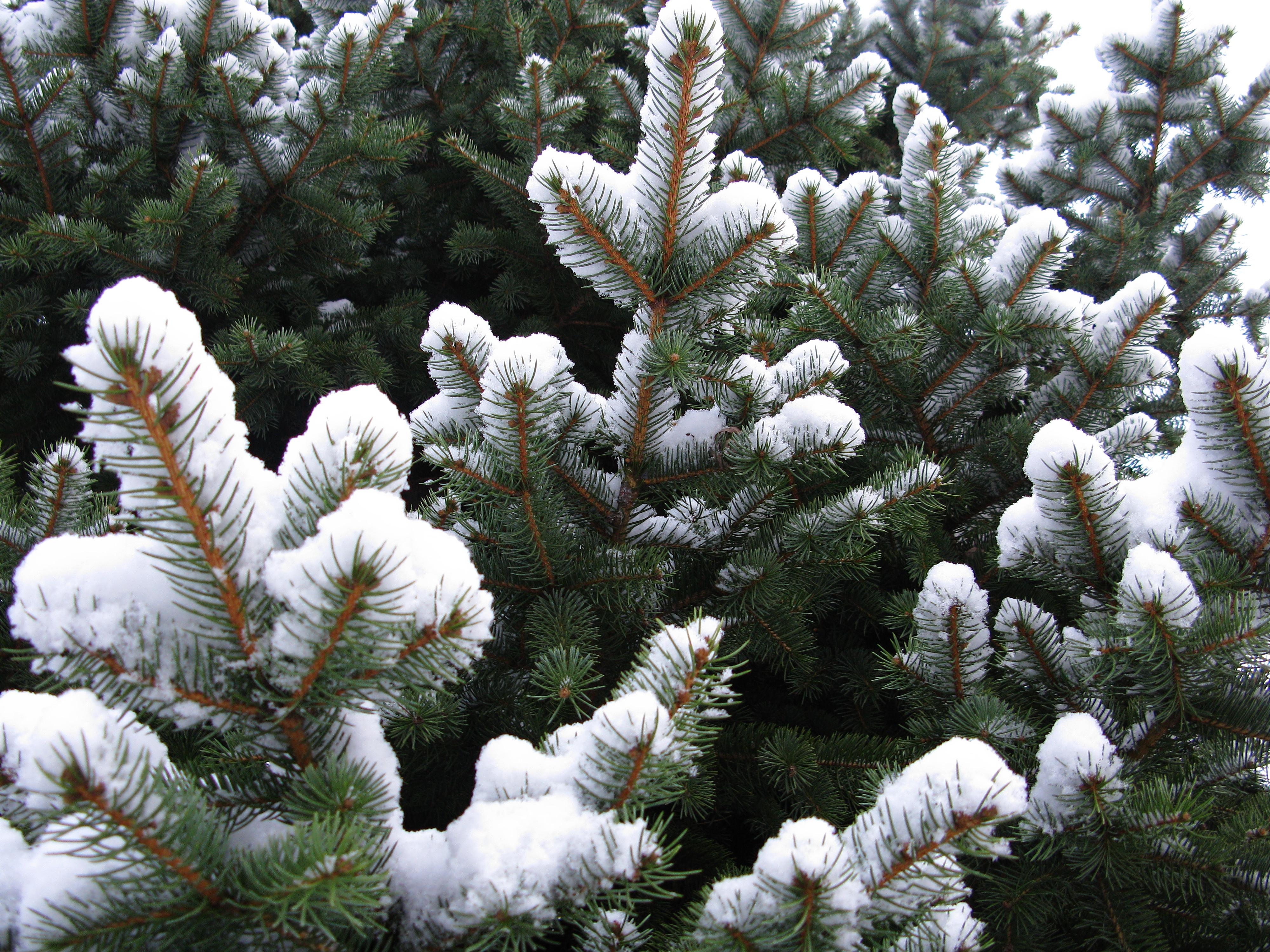 spruce tree snow - photo #30