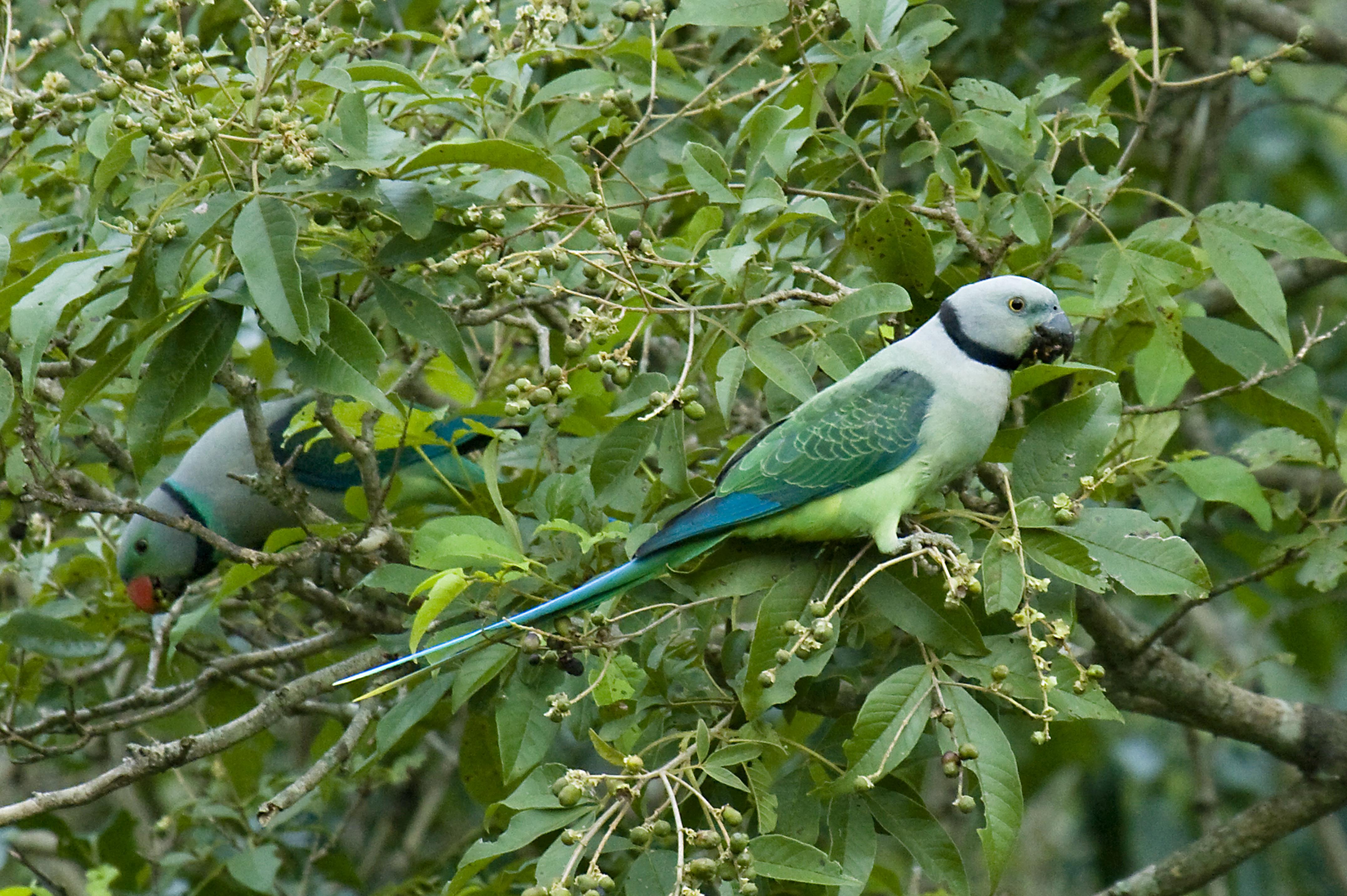 Resultado de imagem para blue-wing parakeet