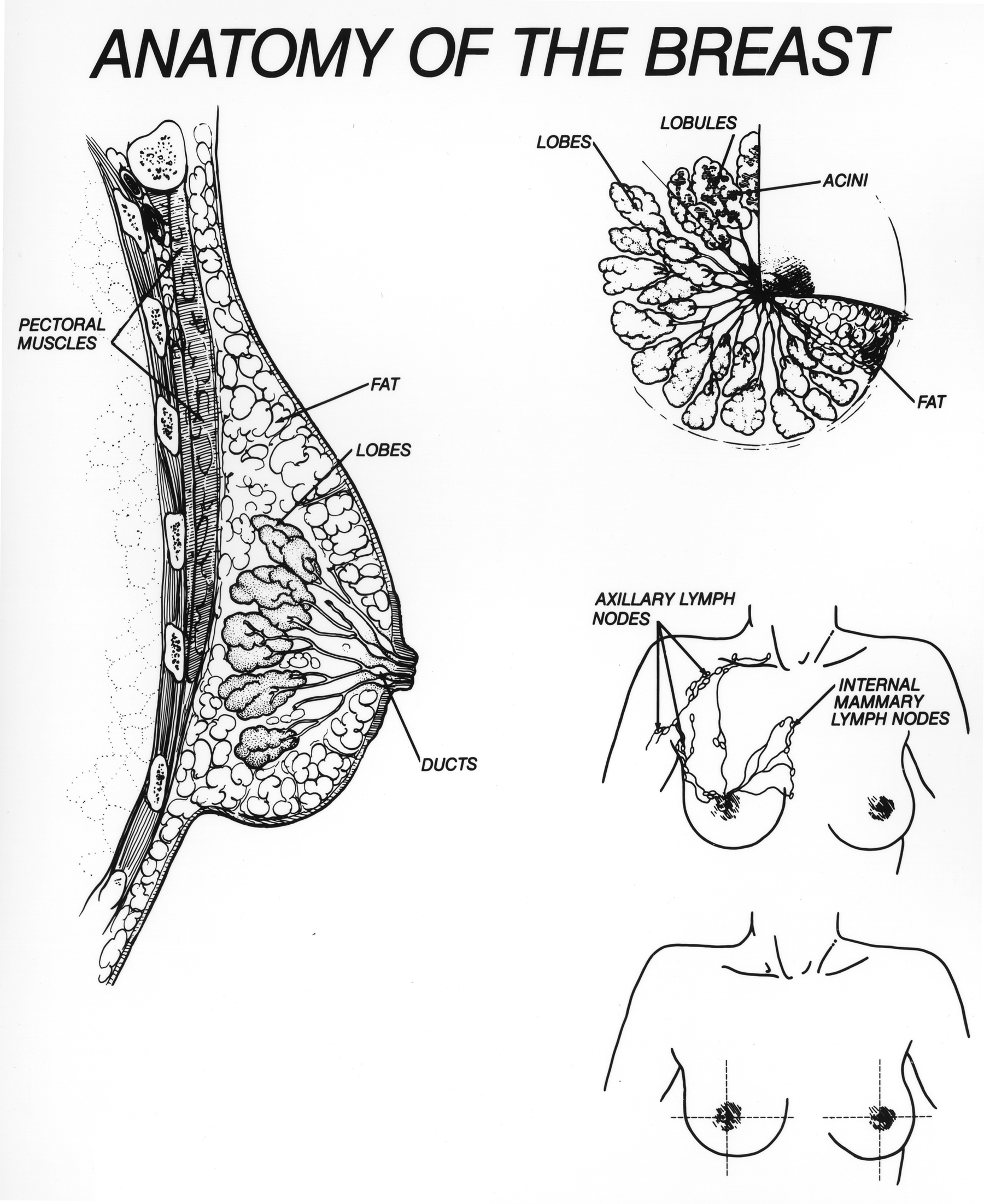 File:Breast illustration.jpg - Wikimedia Commons