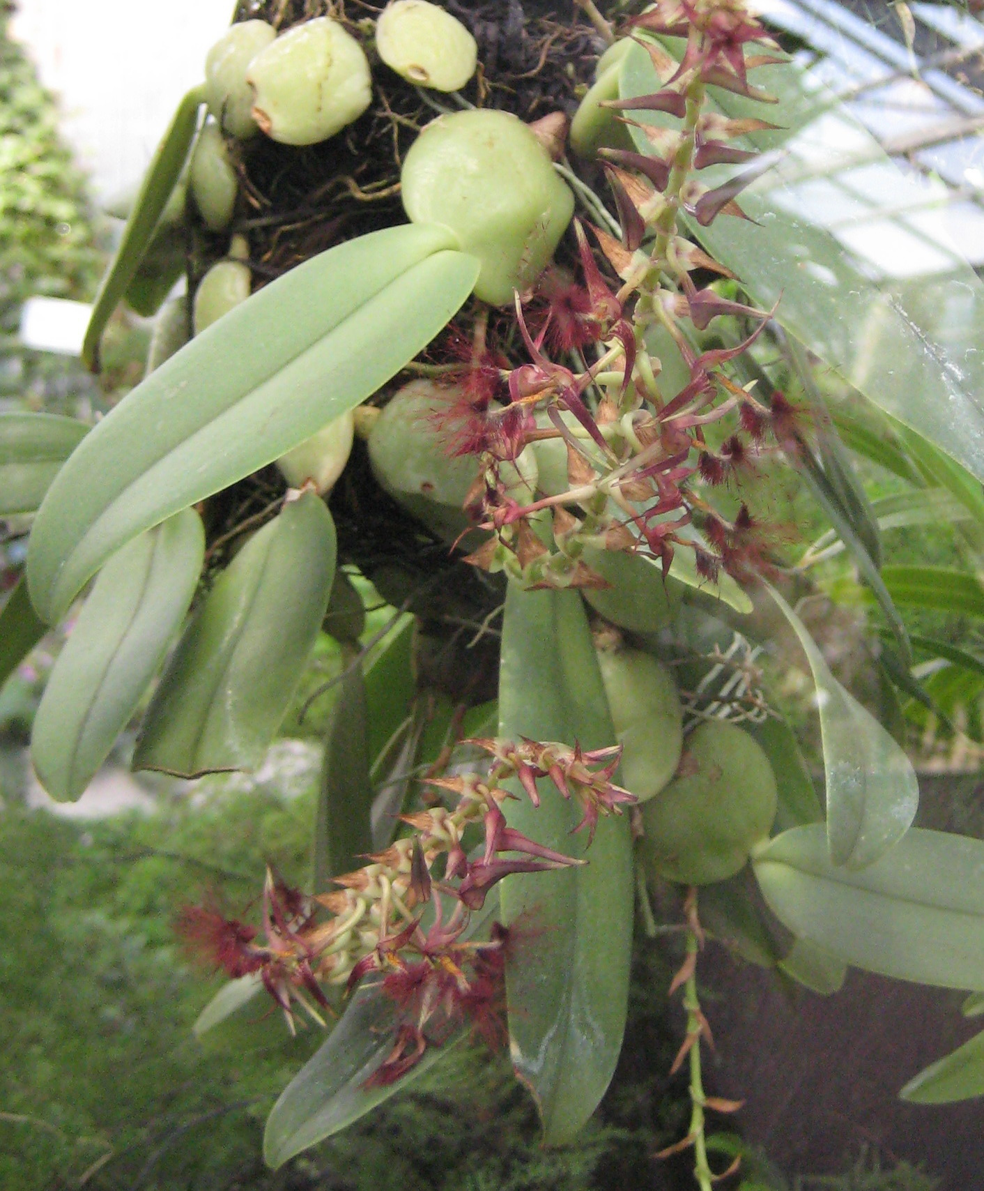 http://upload.wikimedia.org/wikipedia/commons/1/1d/Bulbophyllum_barbigerum_01.jpg