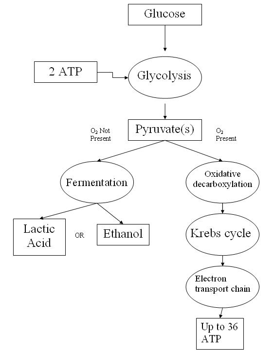 Cellular respiration Simple English Wikipedia the free encyclopedia – Cellular Respiration Worksheet Answer Key