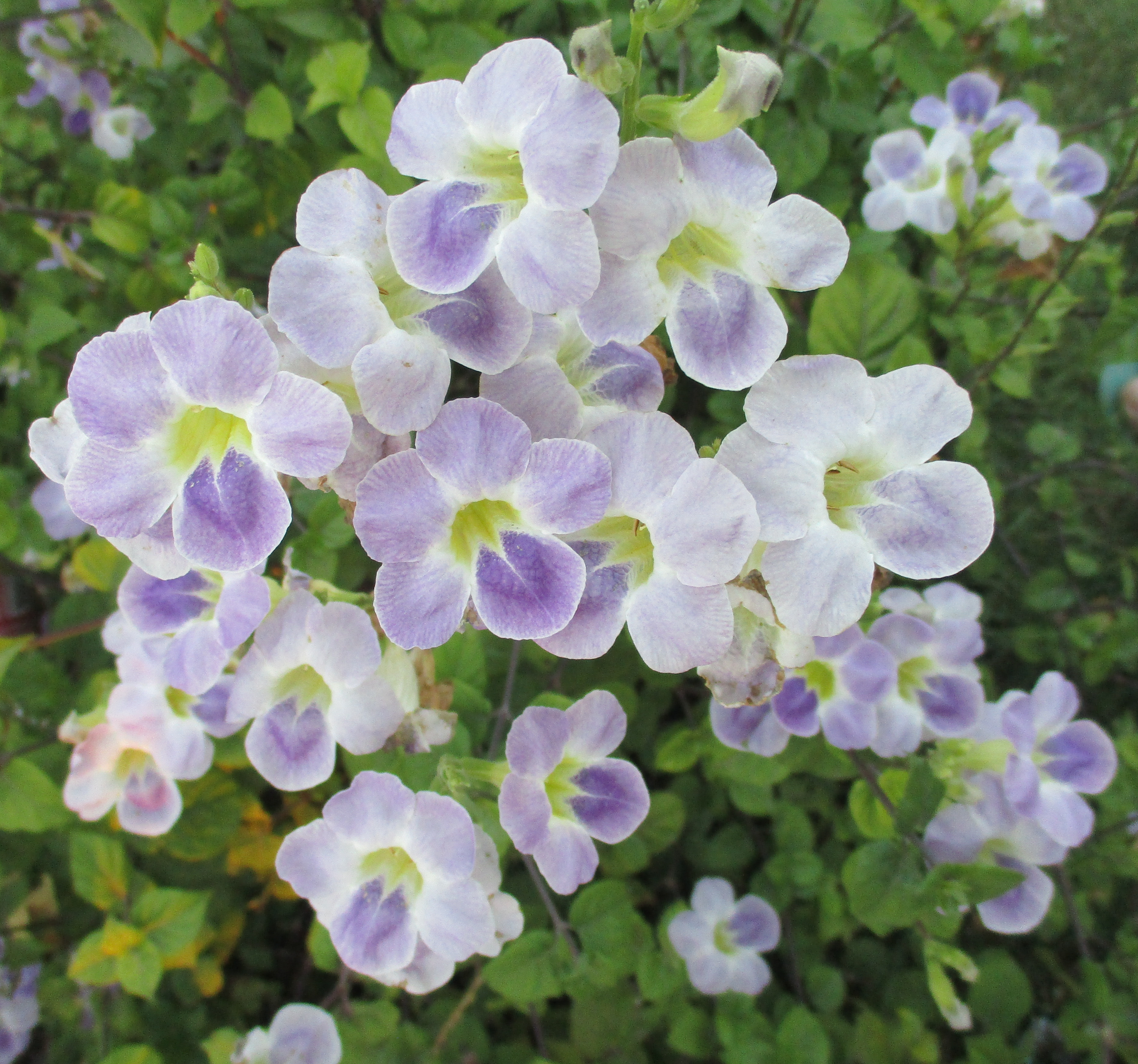 File Chinese Violet Asystasia Gangetica Flowers 1 Jpg Wikimedia Commons