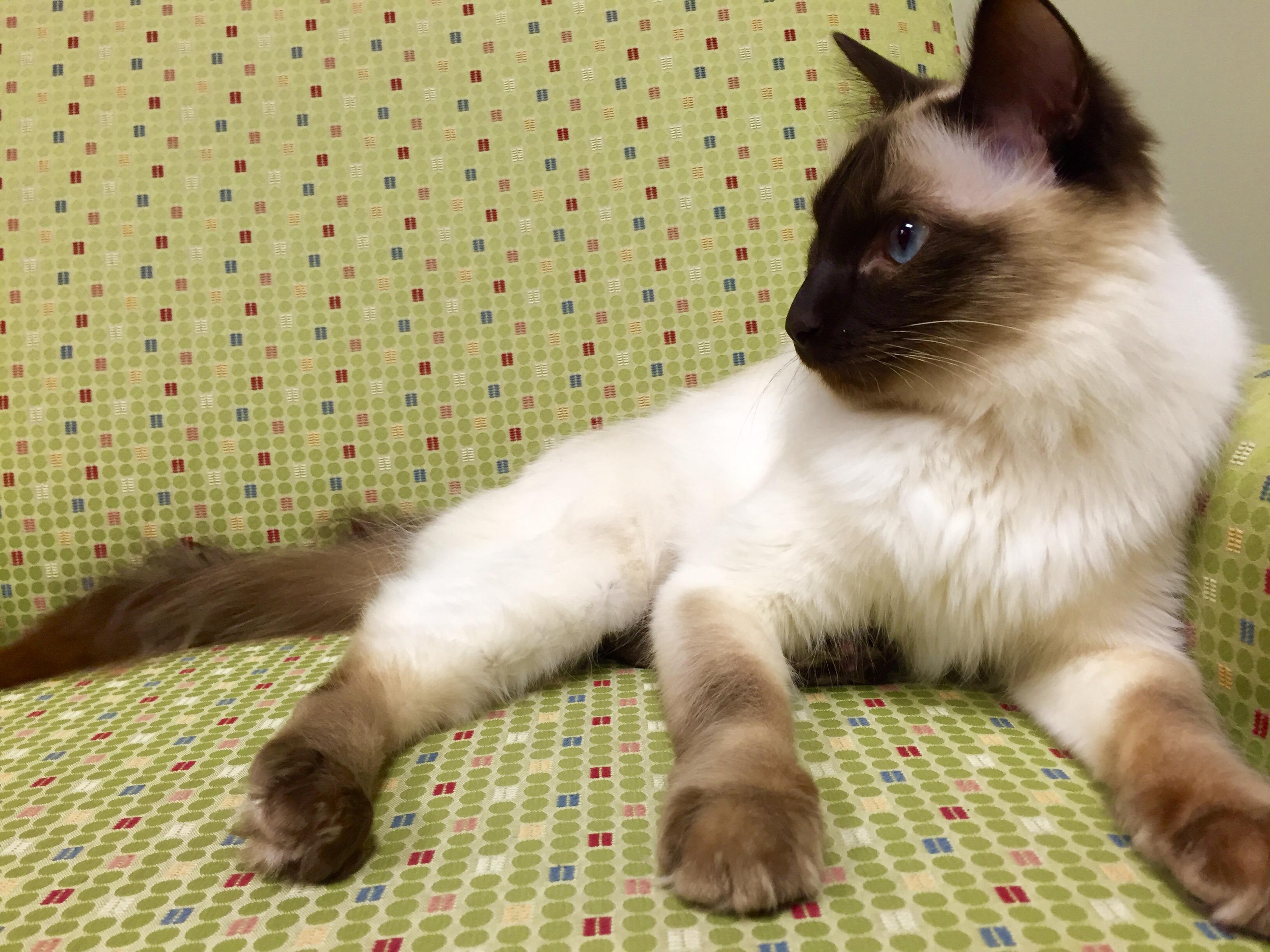 Index For Cat Colors Felinegeneticscom