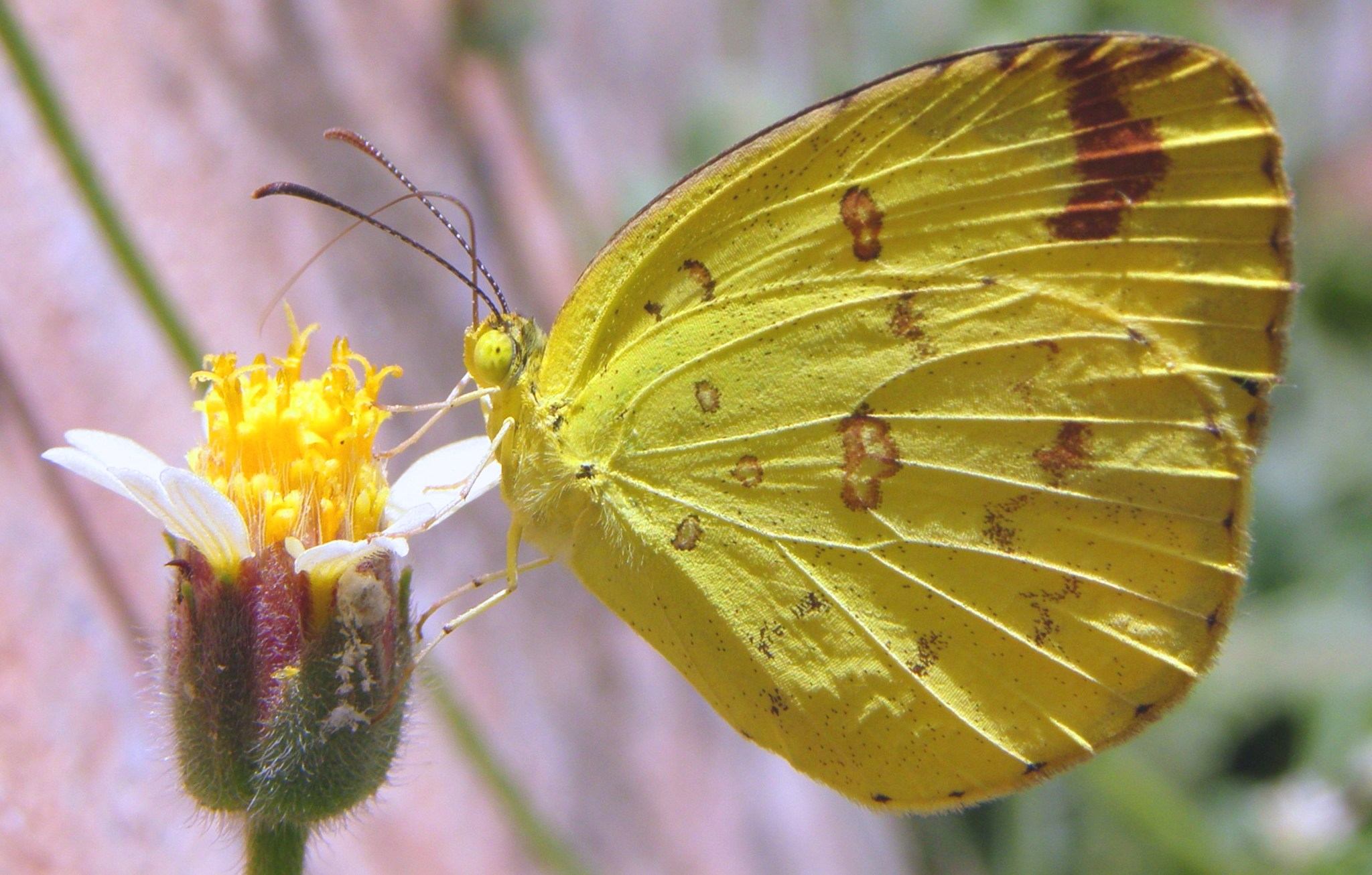 Http Commons Wikimedia Org Wiki File Common Yellow Butterfly Jpg