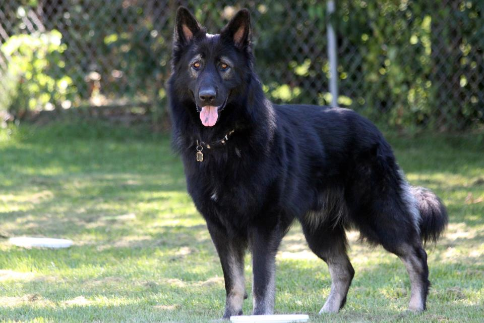 Czech Wolfdog Worlds Most Expensive Dog Breeds