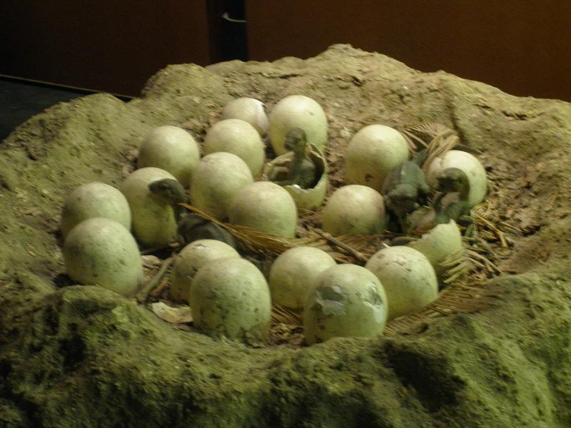 Reconstruction of a Maiasaura nest at the Natural History Museum in London.