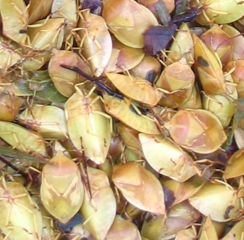 File:Dried edible stink bugs - Encosternum delegorguei.jpg