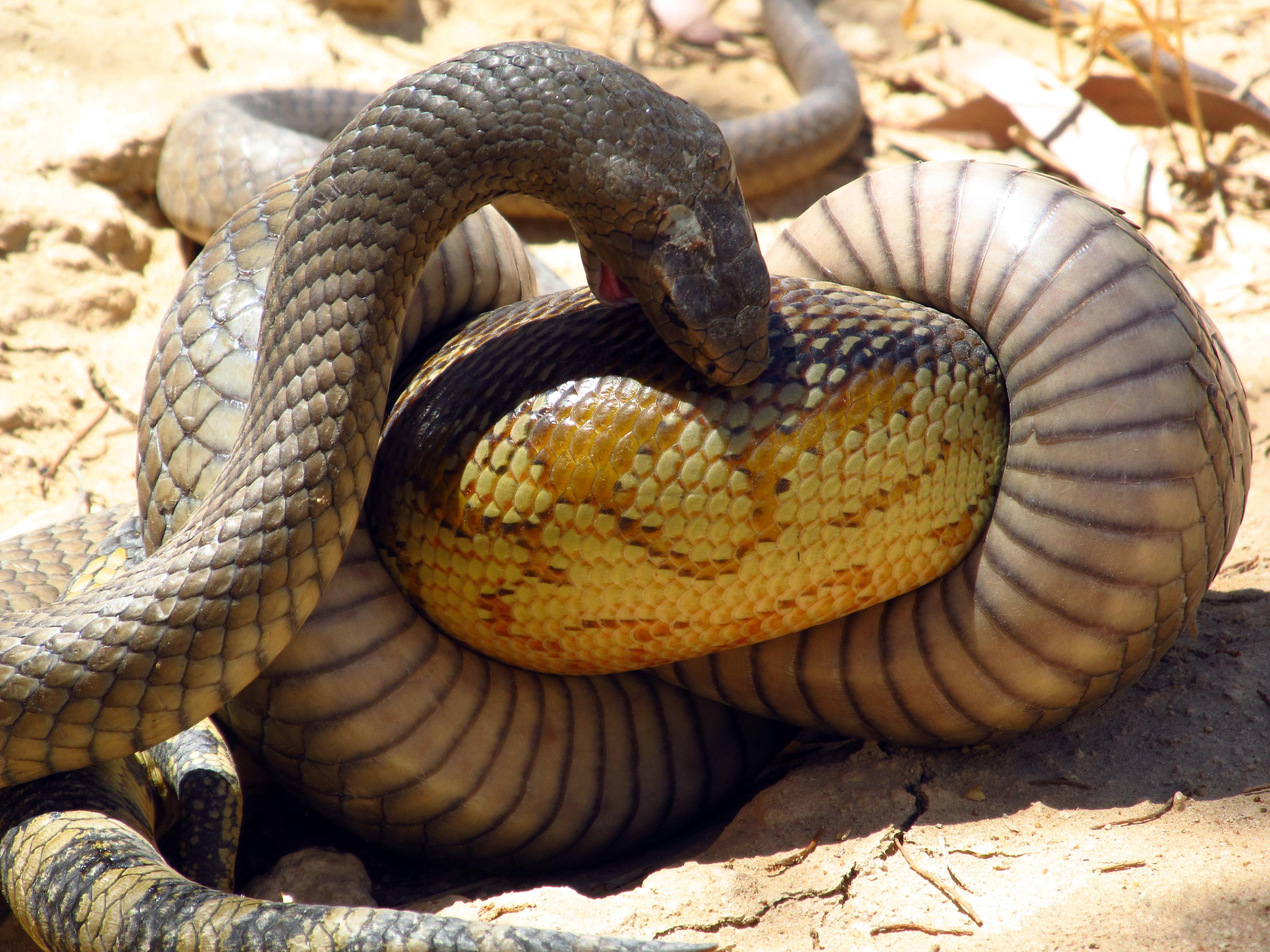 Self Eating Snake Ring