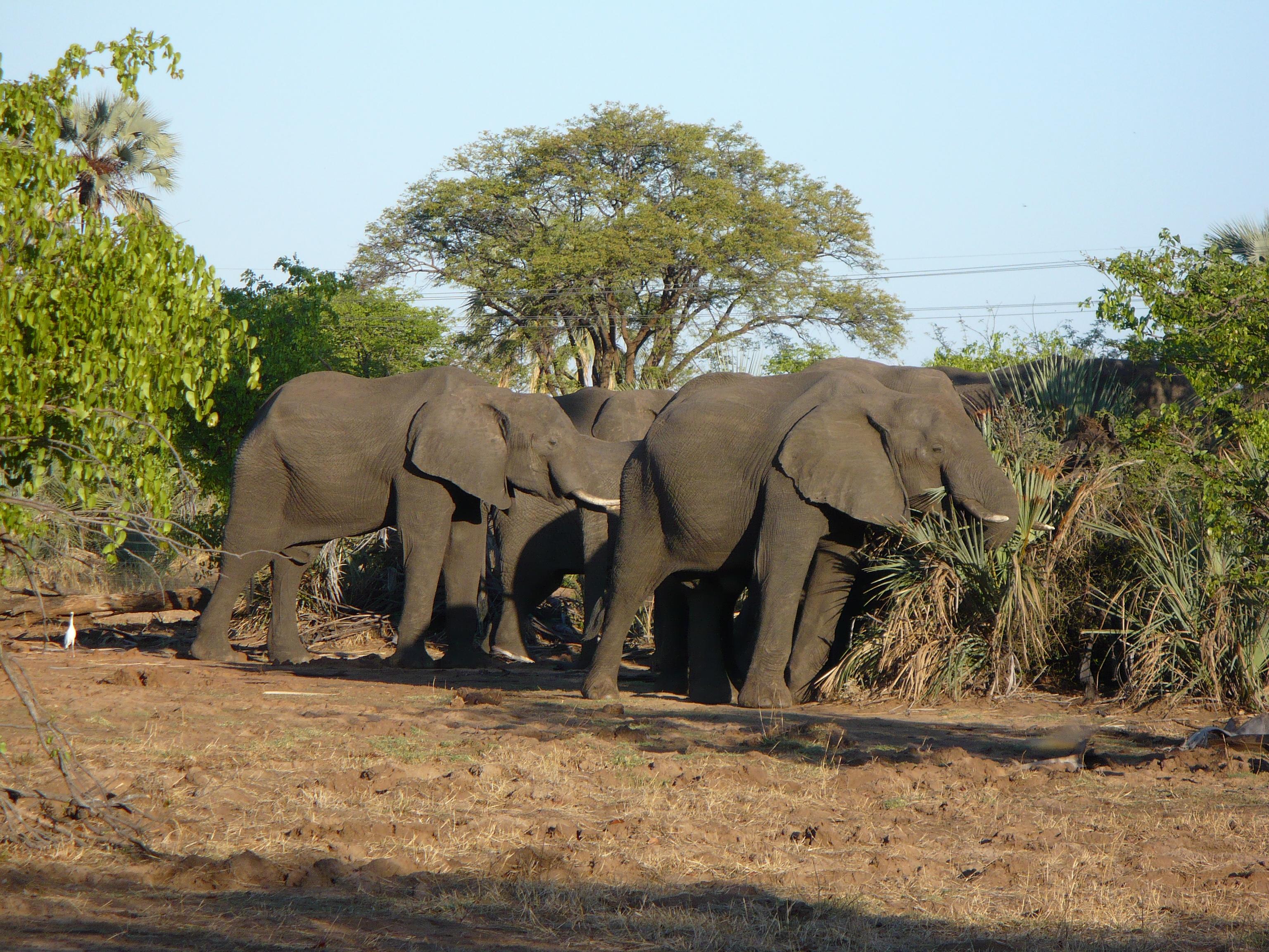 Elephant in Mosi-oa-Tunya National Park, Zambia