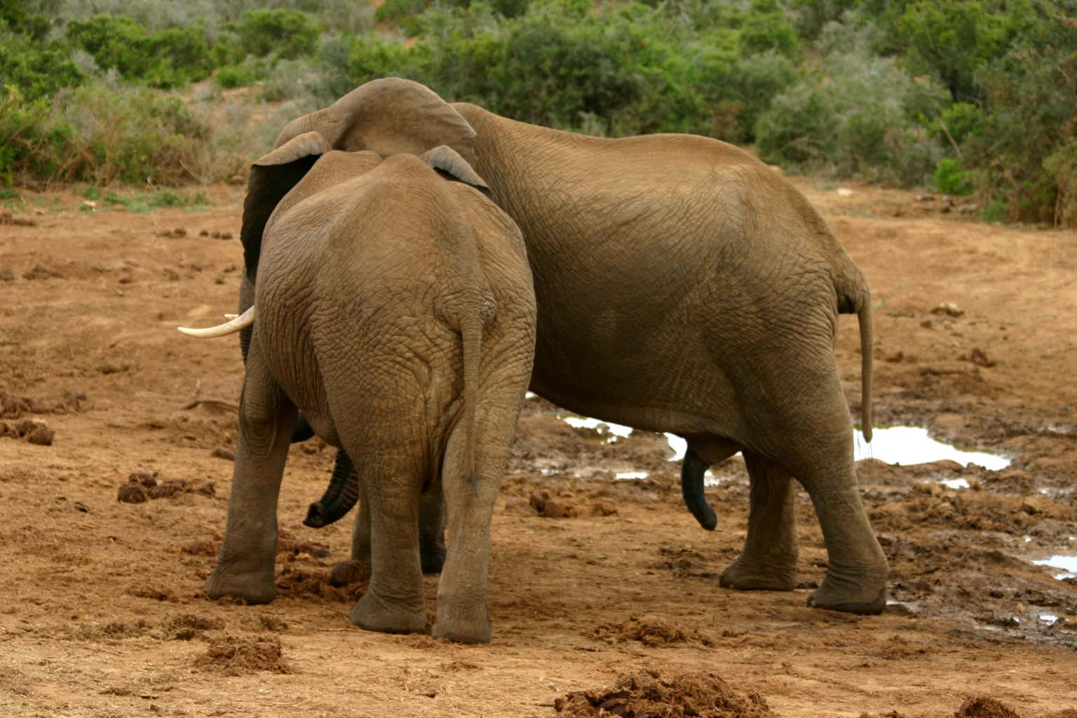 Description Elephant mating ritual 5.jpg: commons.wikimedia.org/wiki/File:Elephant_mating_ritual_5.jpg