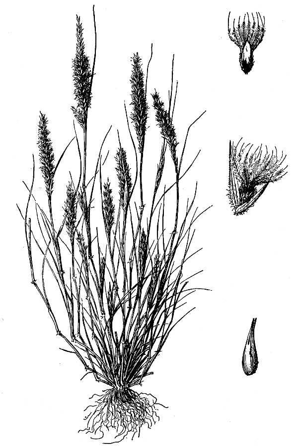 Enneapogon desvauxii Wikipedia