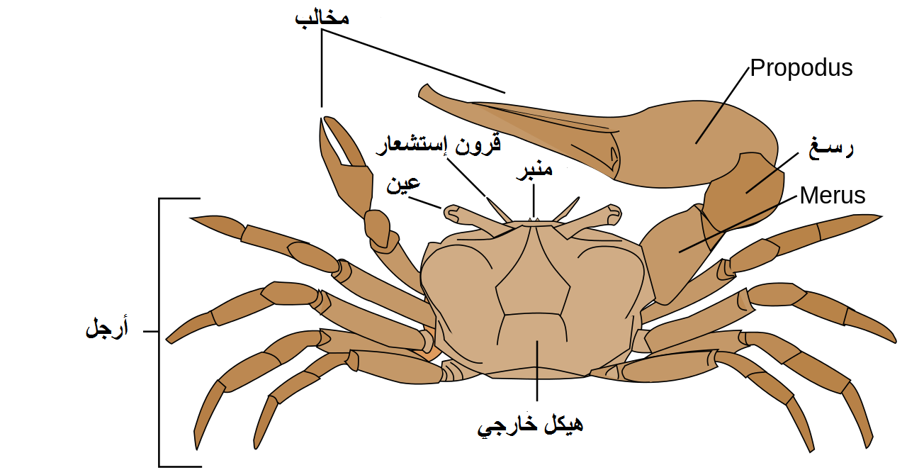 File:Fiddler crab anatomy-ar.png - Wikimedia Commons