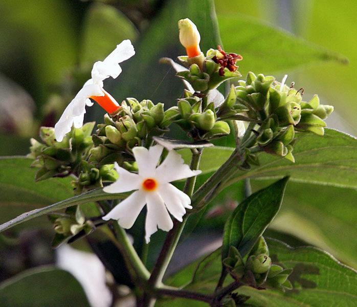 File:Flower & flower buds I IMG 2257.jpg