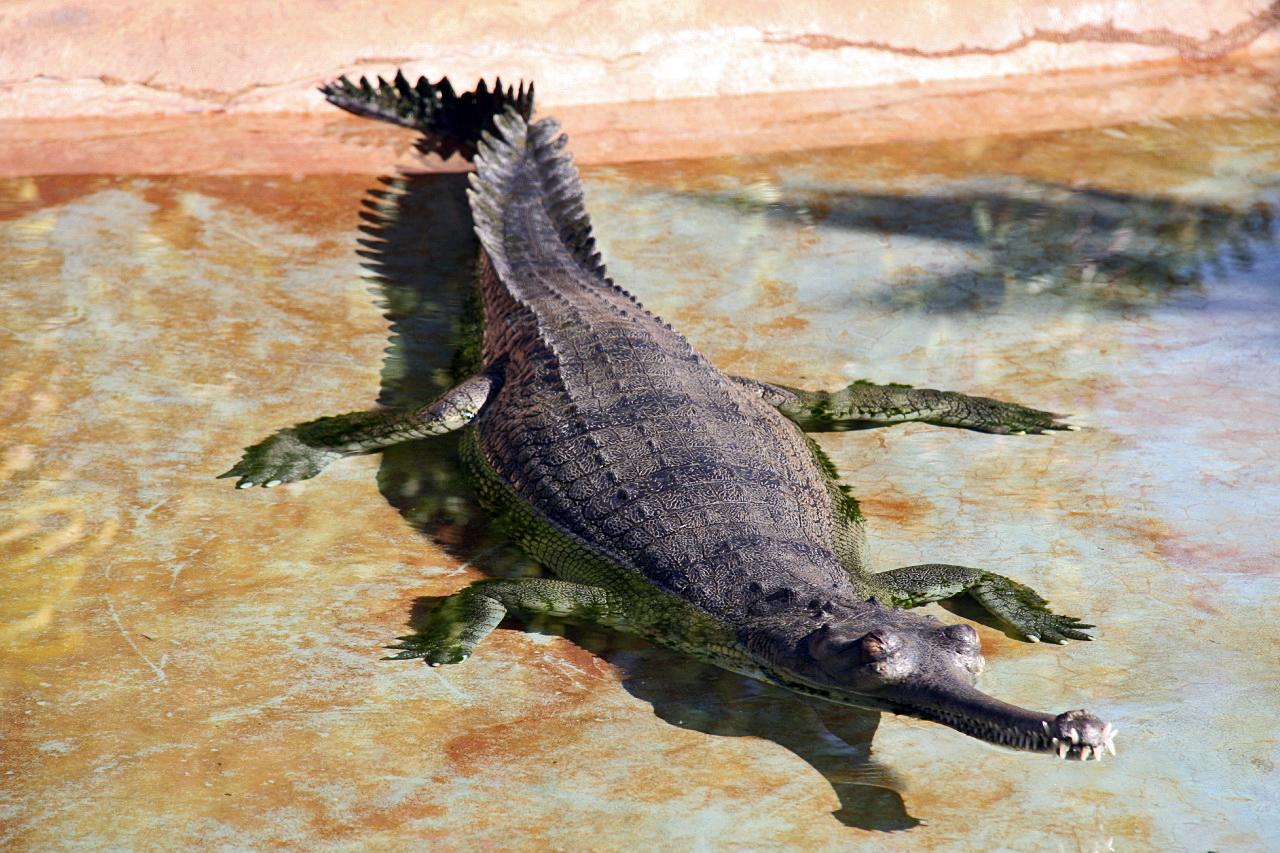 File Gavialis Gangeticus Jpg Wikimedia Commons