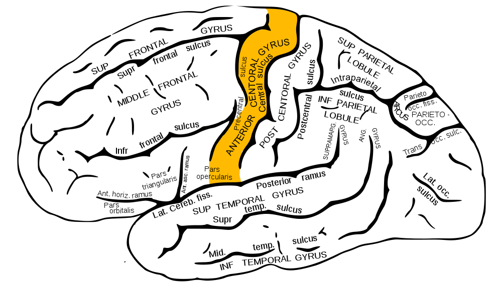 precentral gyrus categoryfrontal lobe