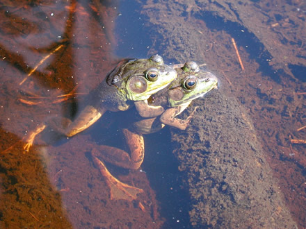 Green frogs in amplexus