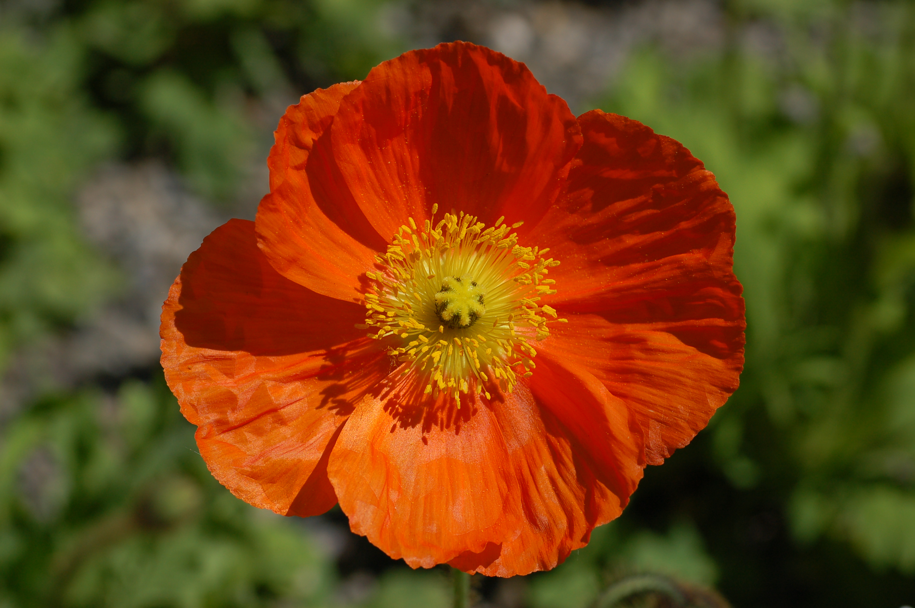 Fileiceland poppy papaver nudicaule champagne bubbles orange fileiceland poppy papaver nudicaule champagne bubbles orange flowerg mightylinksfo