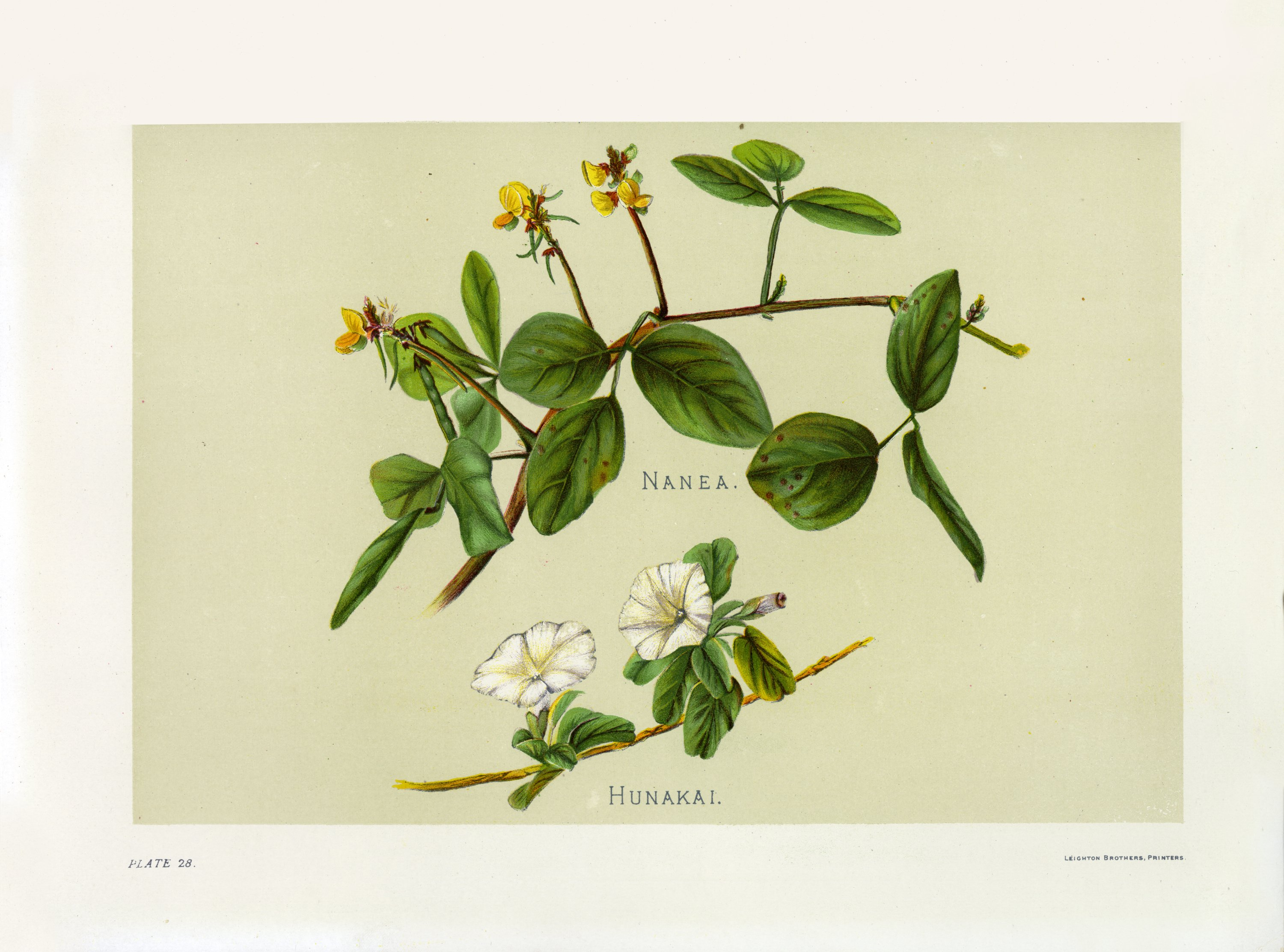 Indigenous Flowers of the Hawaiian Islands, Plate 28.jpg English: Indigenous Flowers of the Hawaiian Islands by Mrs. Frances Sinclair, Plate