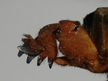 Leg of Gryllotalpa.jpg