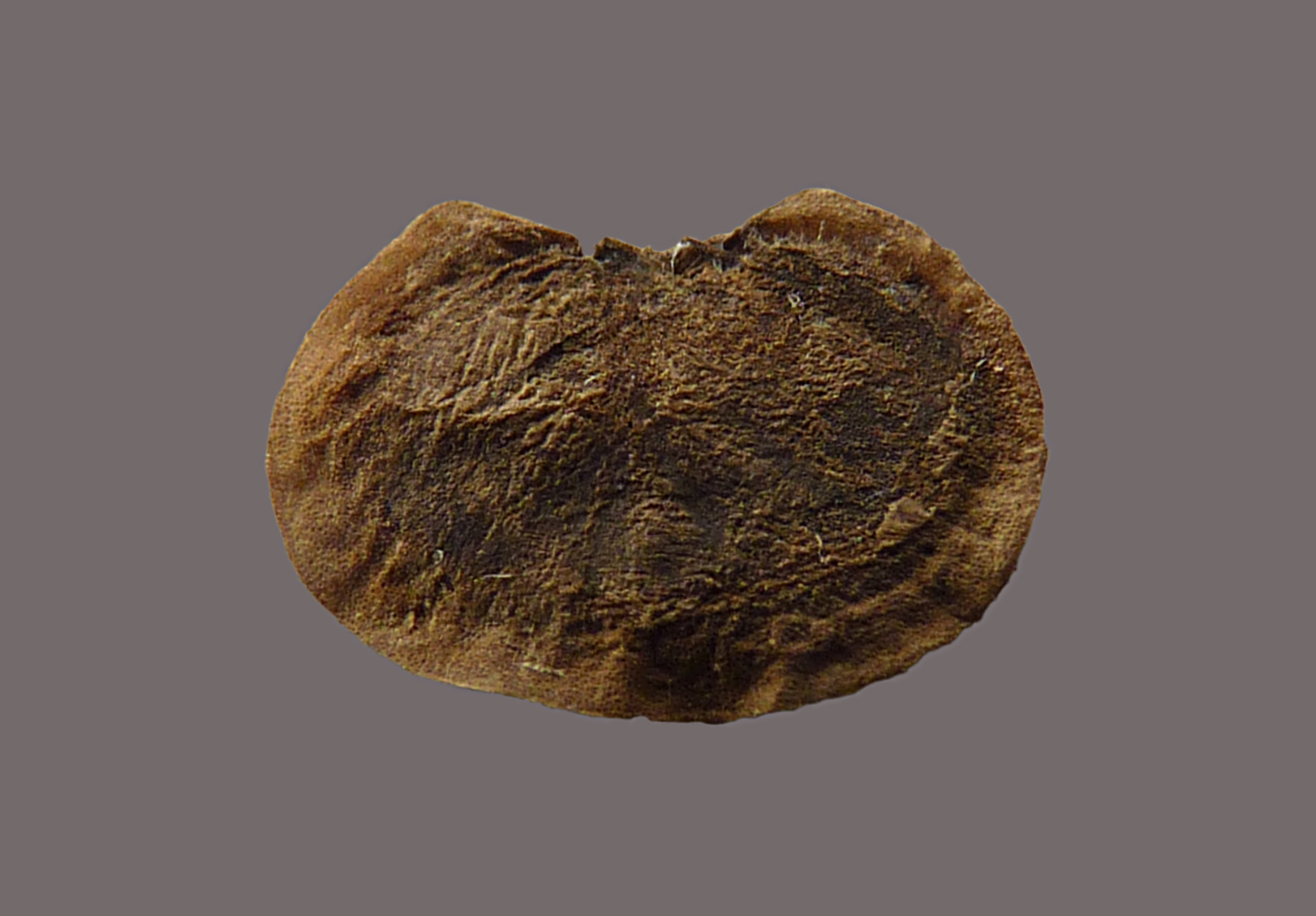 Annua Seeds File:lunaria Annua Seed J1.jpg