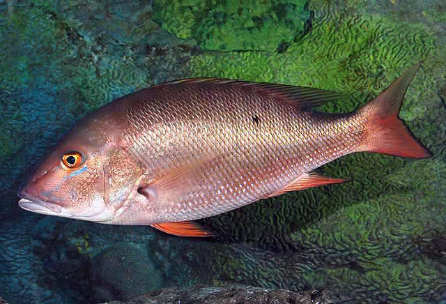mutton snapper wikipedia