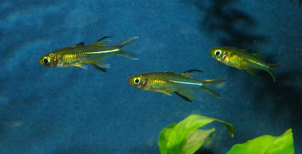 Celebes-Ährenfische