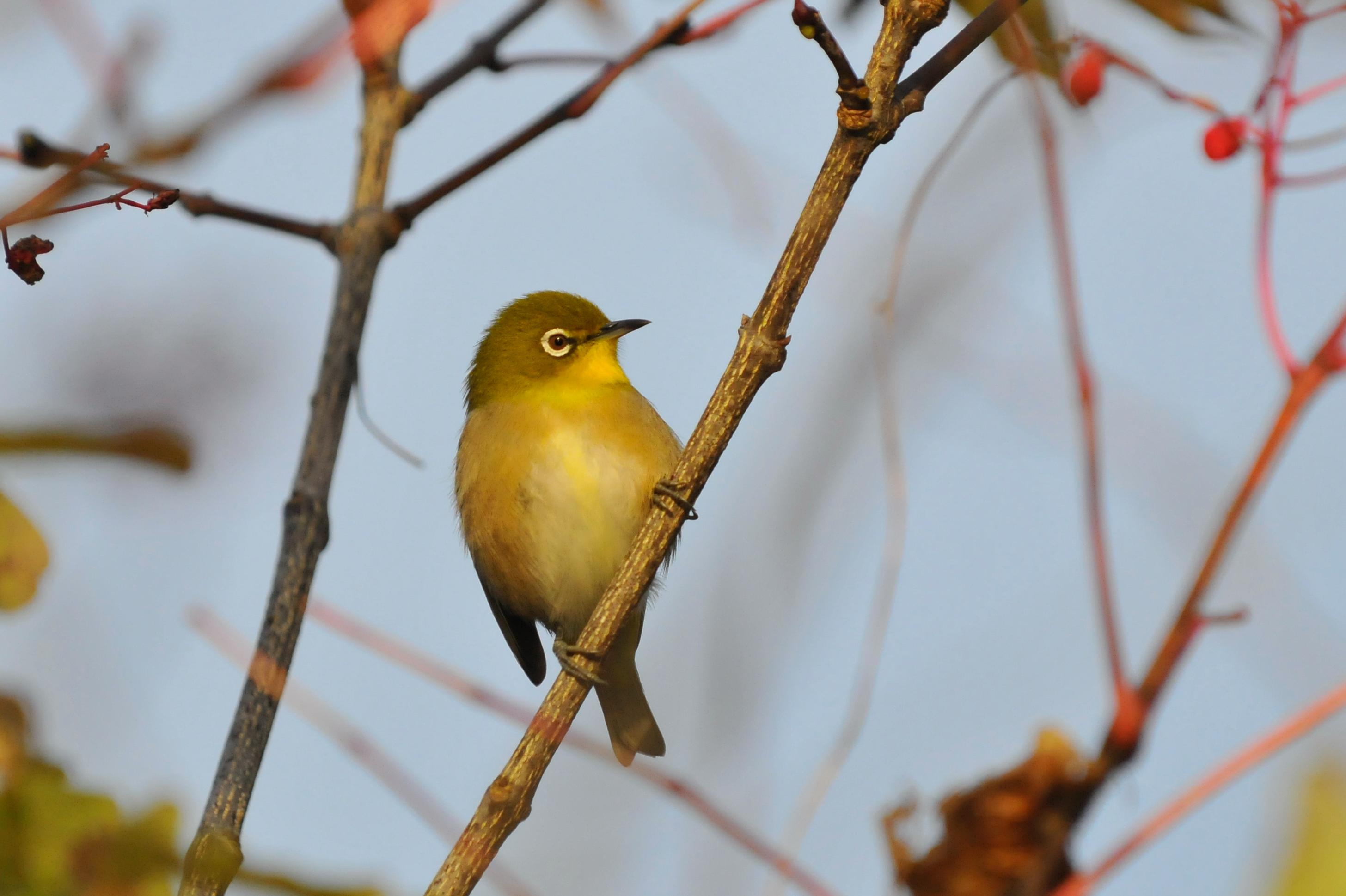 Urban Birds of Maui ~ Species of Birds