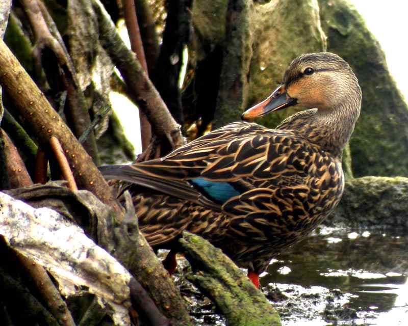 Mottled Duck Female, photographed in southwest Florida.