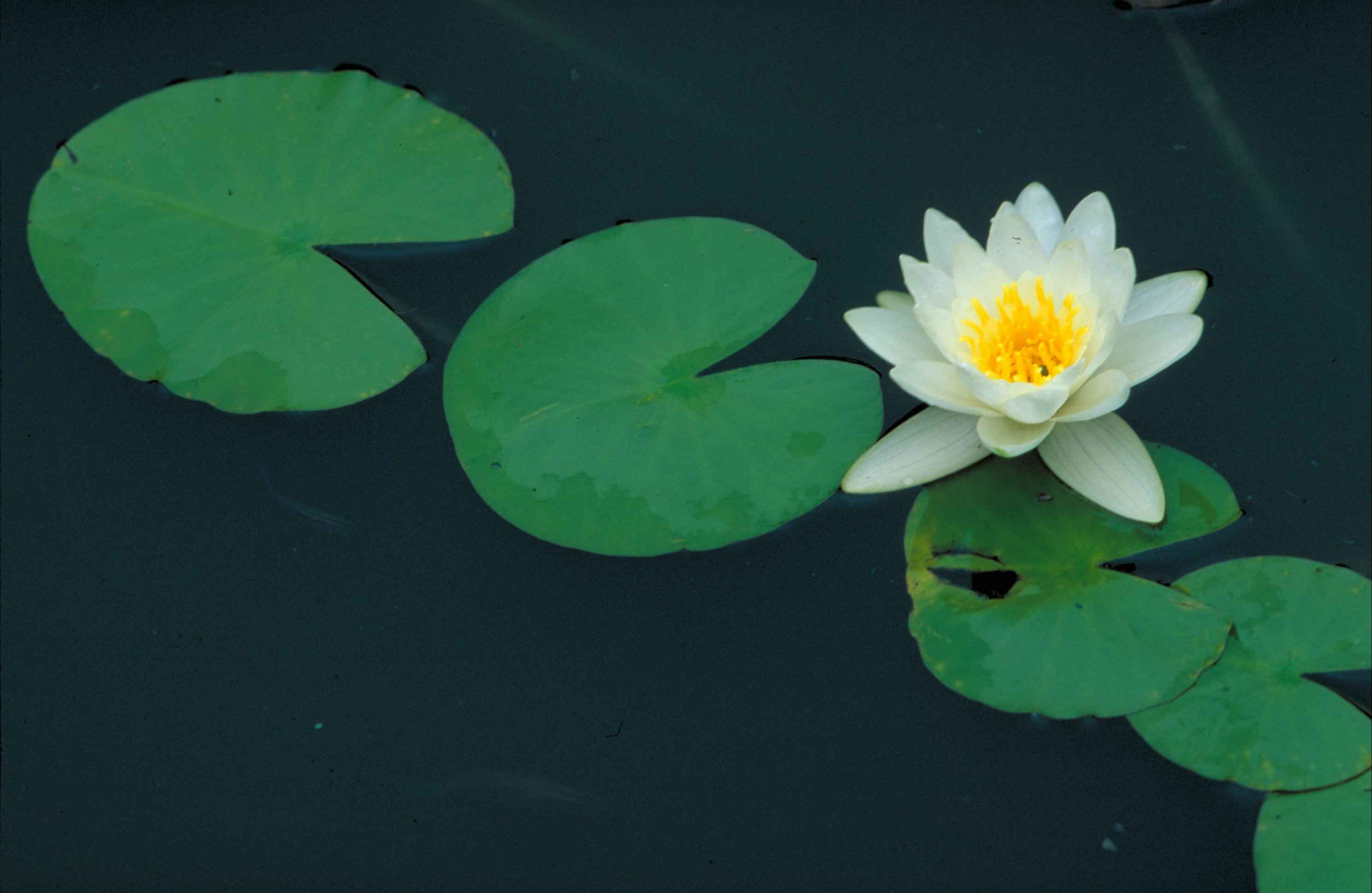 Description Nymphaea odorata fragrant water lily flower.jpg