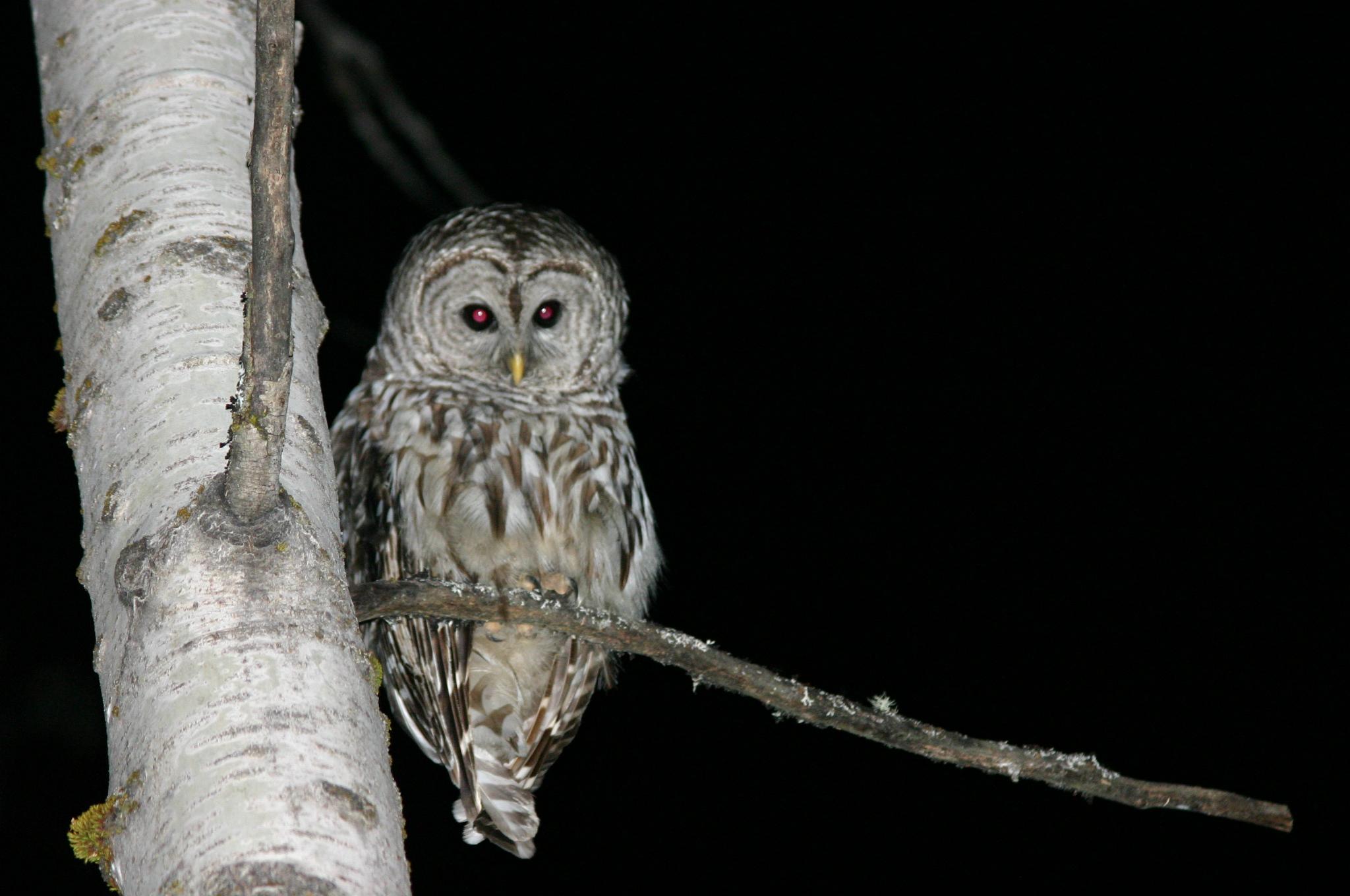 File:Owl at Night.jpg - Wikimedia Commons