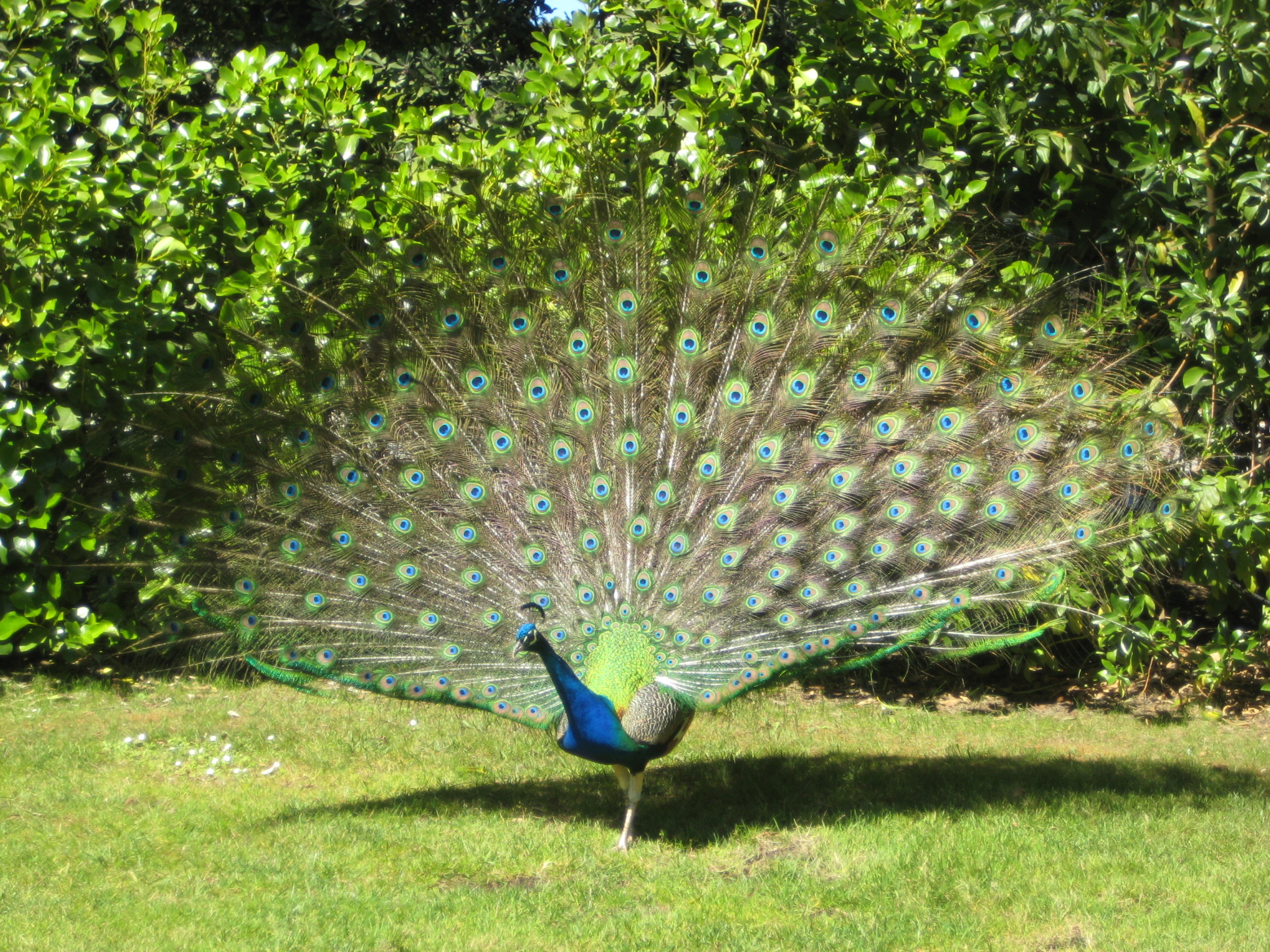 Description peacock 2 jpg