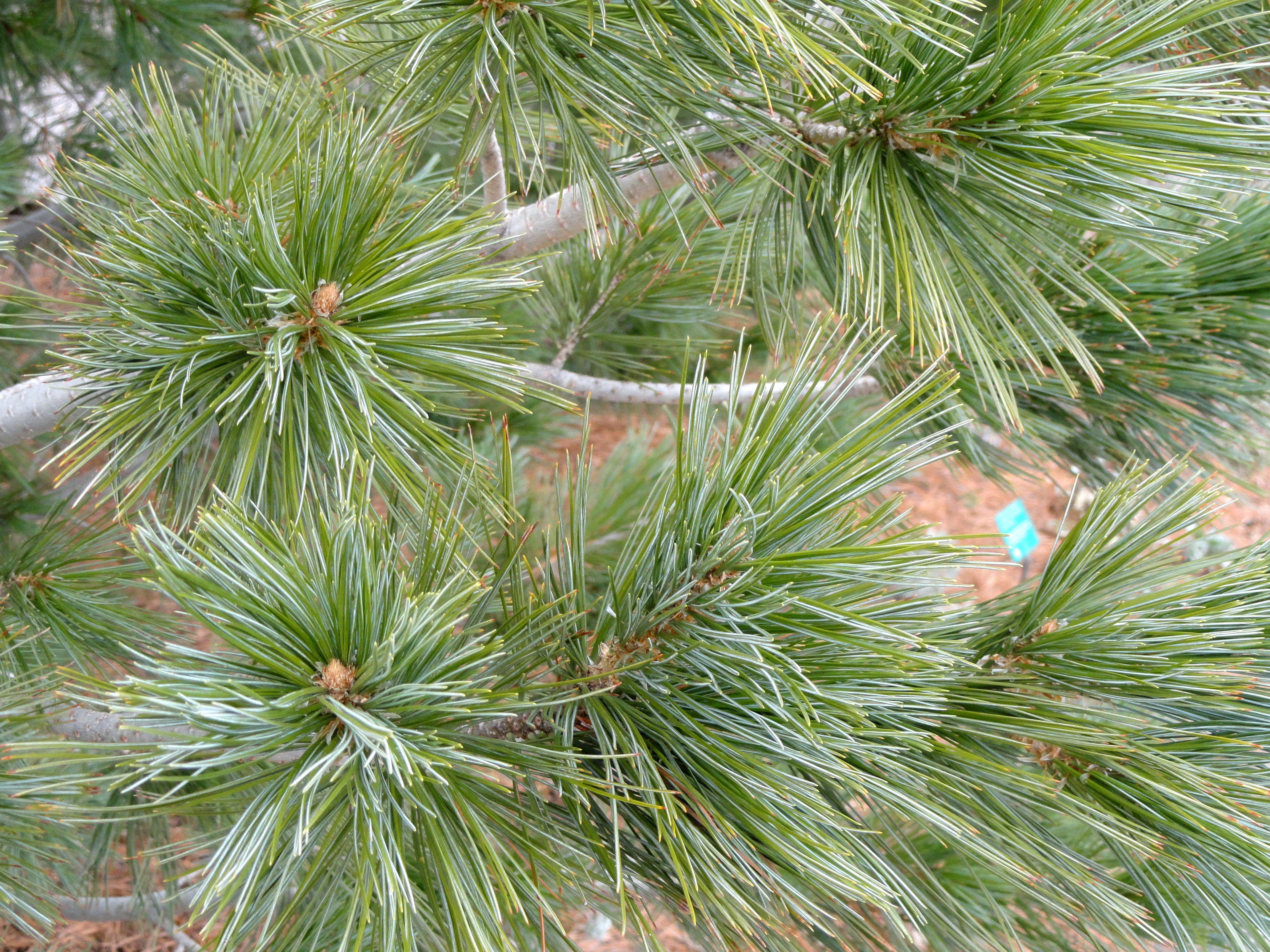 File Pinus Reflexa Red Butte Garden And Arboretum Dsc07519 Jpg