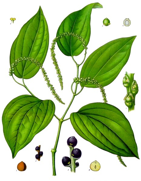 File Piper Nigrum Köhler S Medizinal Pflanzen 107 Png Wikimedia
