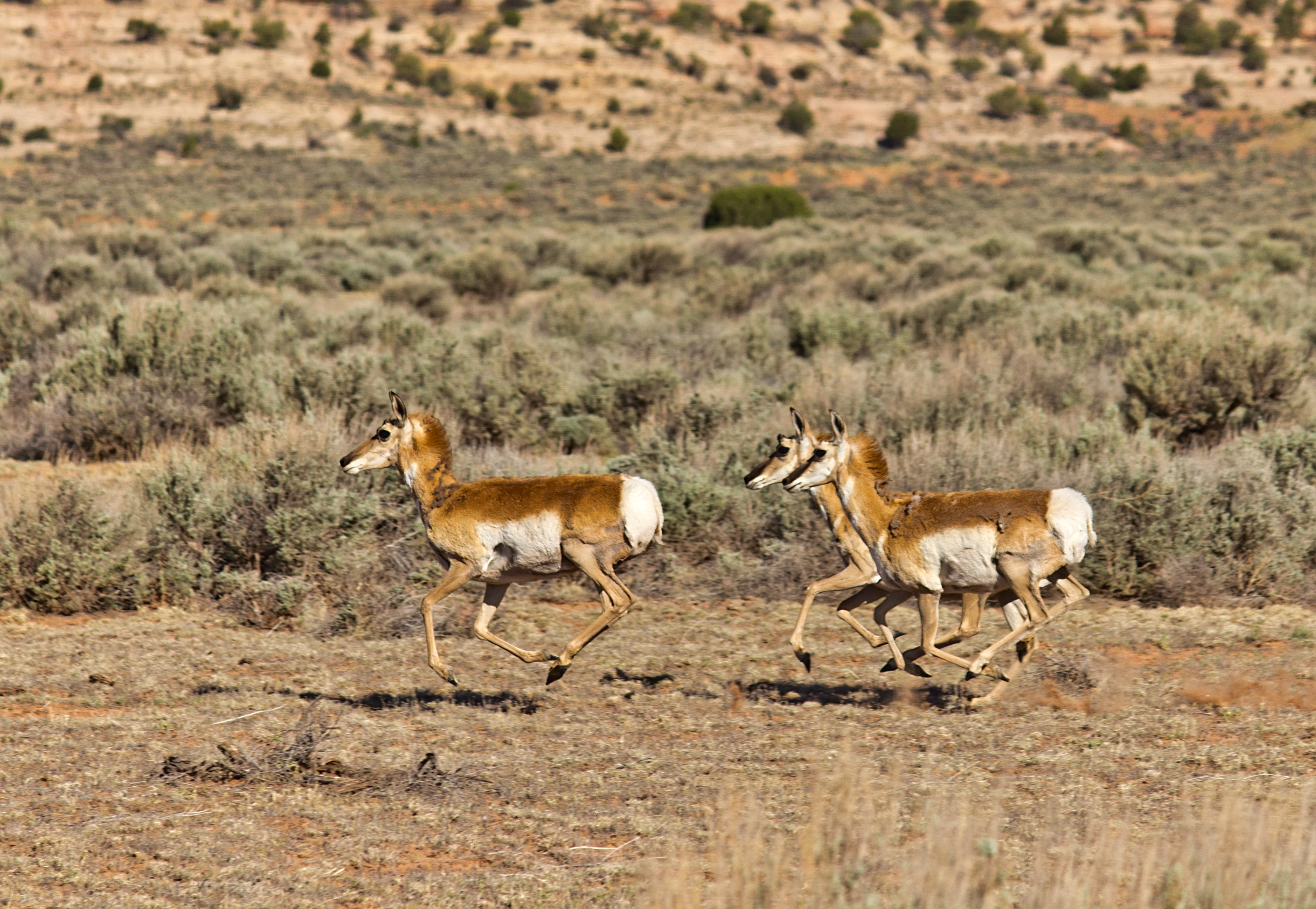 Pronghorn Antelope Run...
