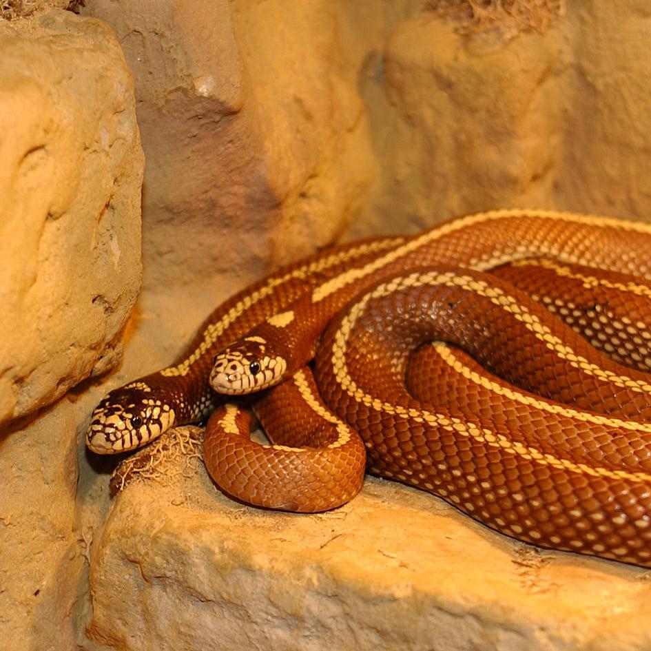 serpent wiktionnaire. Black Bedroom Furniture Sets. Home Design Ideas