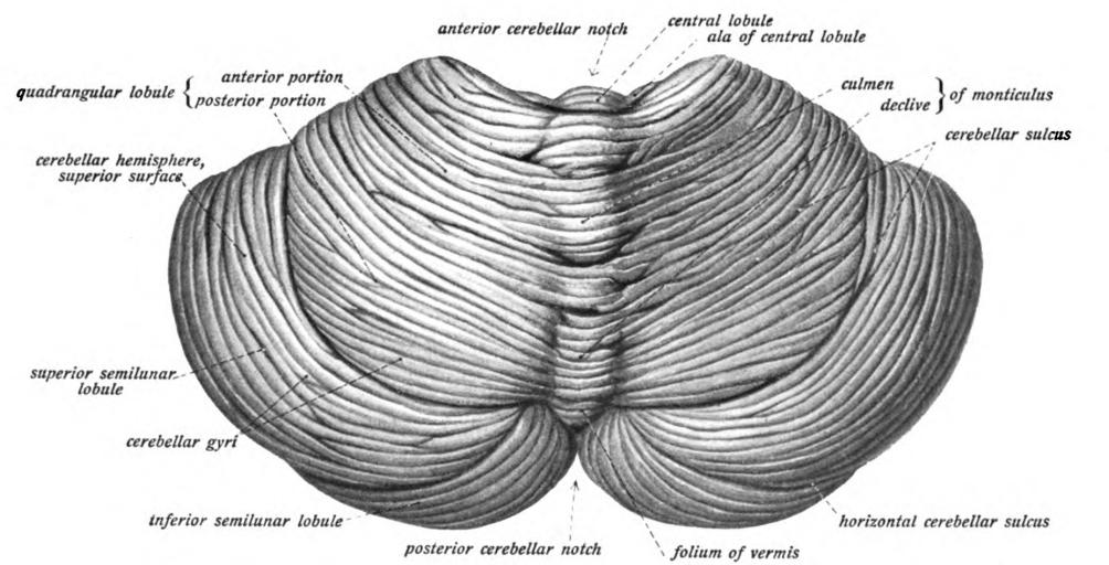 Палеоцеребеллум фото