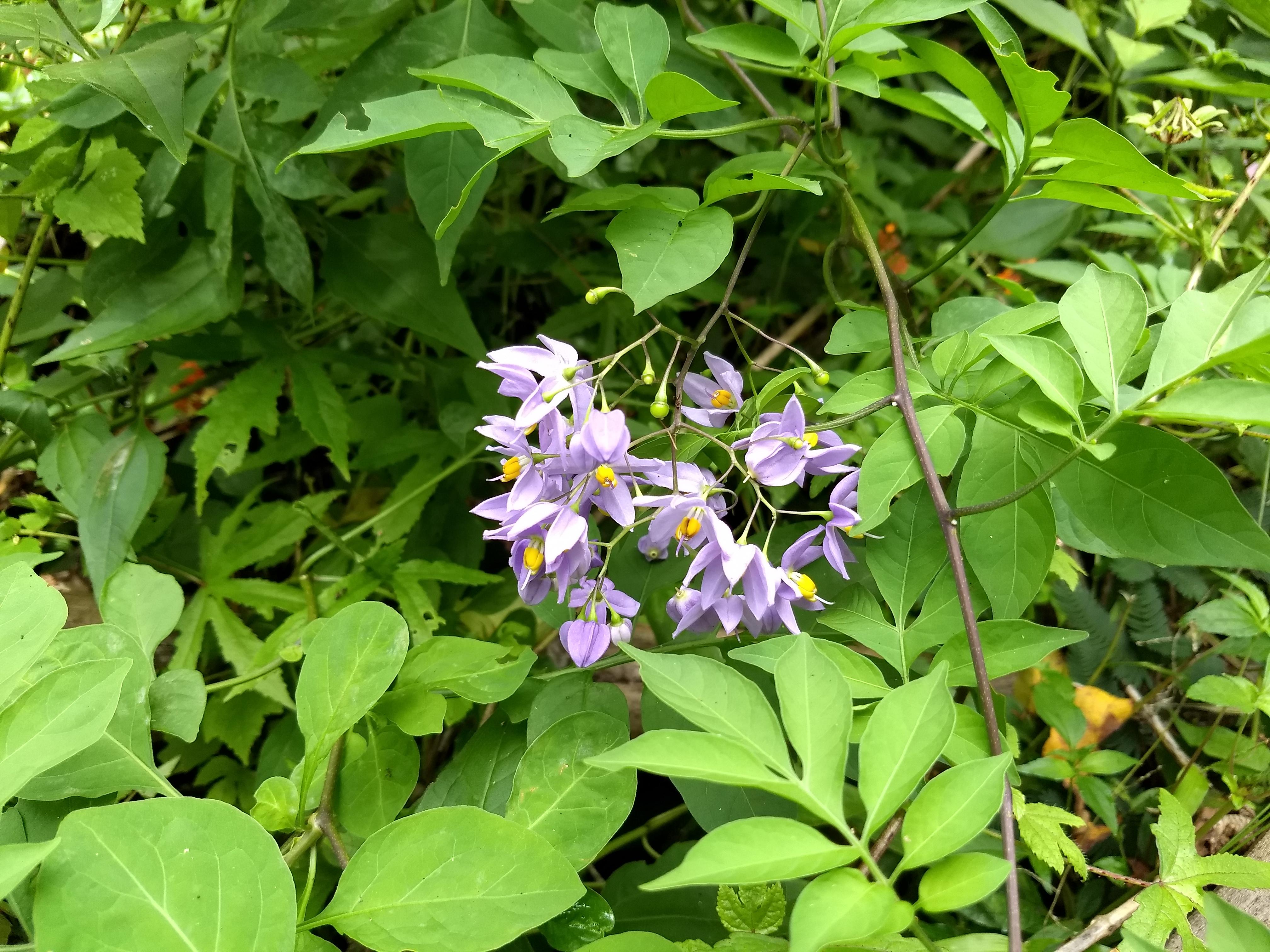 Filesolanum seaforthianum brazilian filesolanum seaforthianum brazilian nightshade italian jasmine potato creeper izmirmasajfo