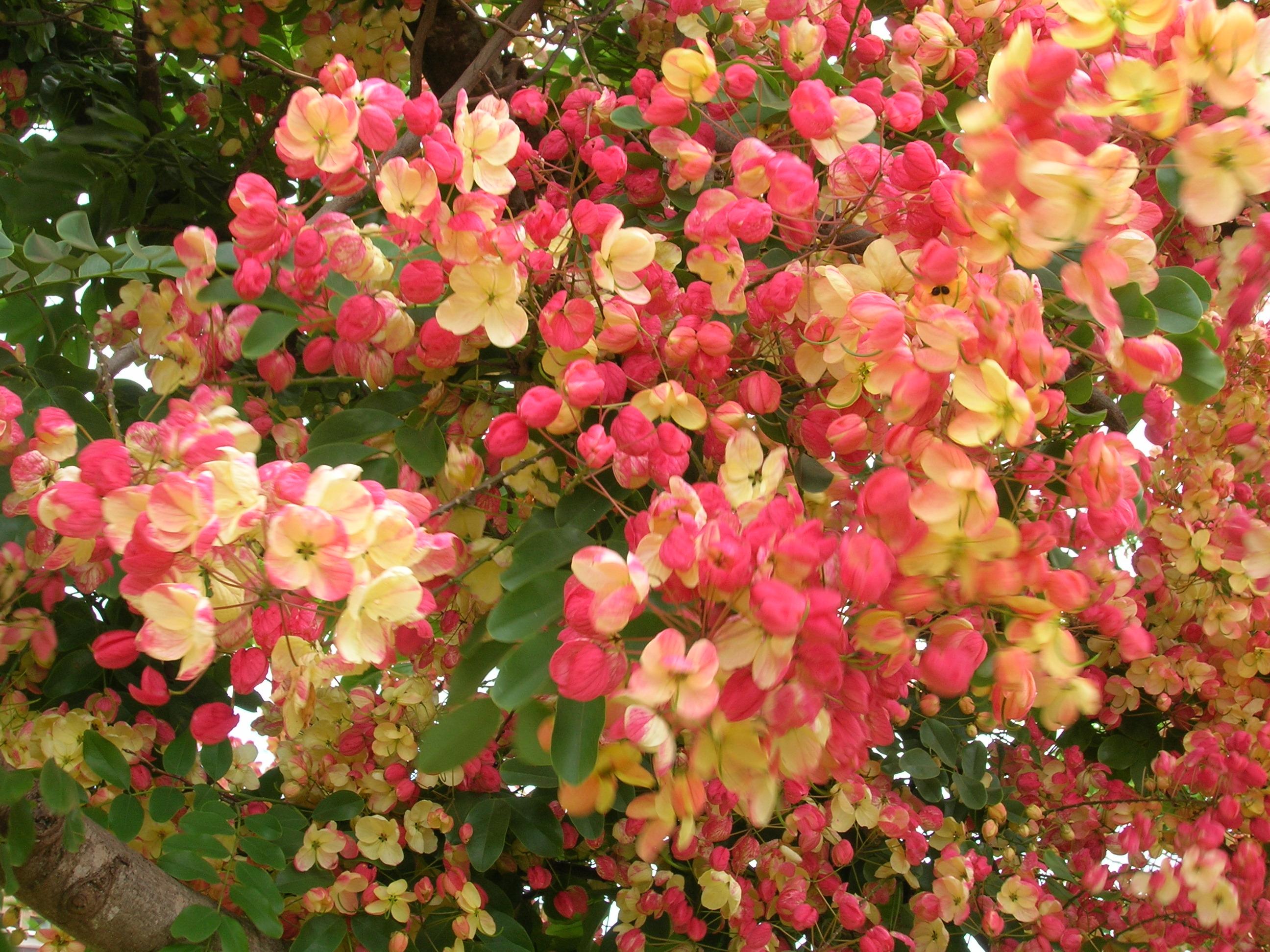 Attract tourists with these 6 exotic flowers on kauai rainbow shower tree izmirmasajfo
